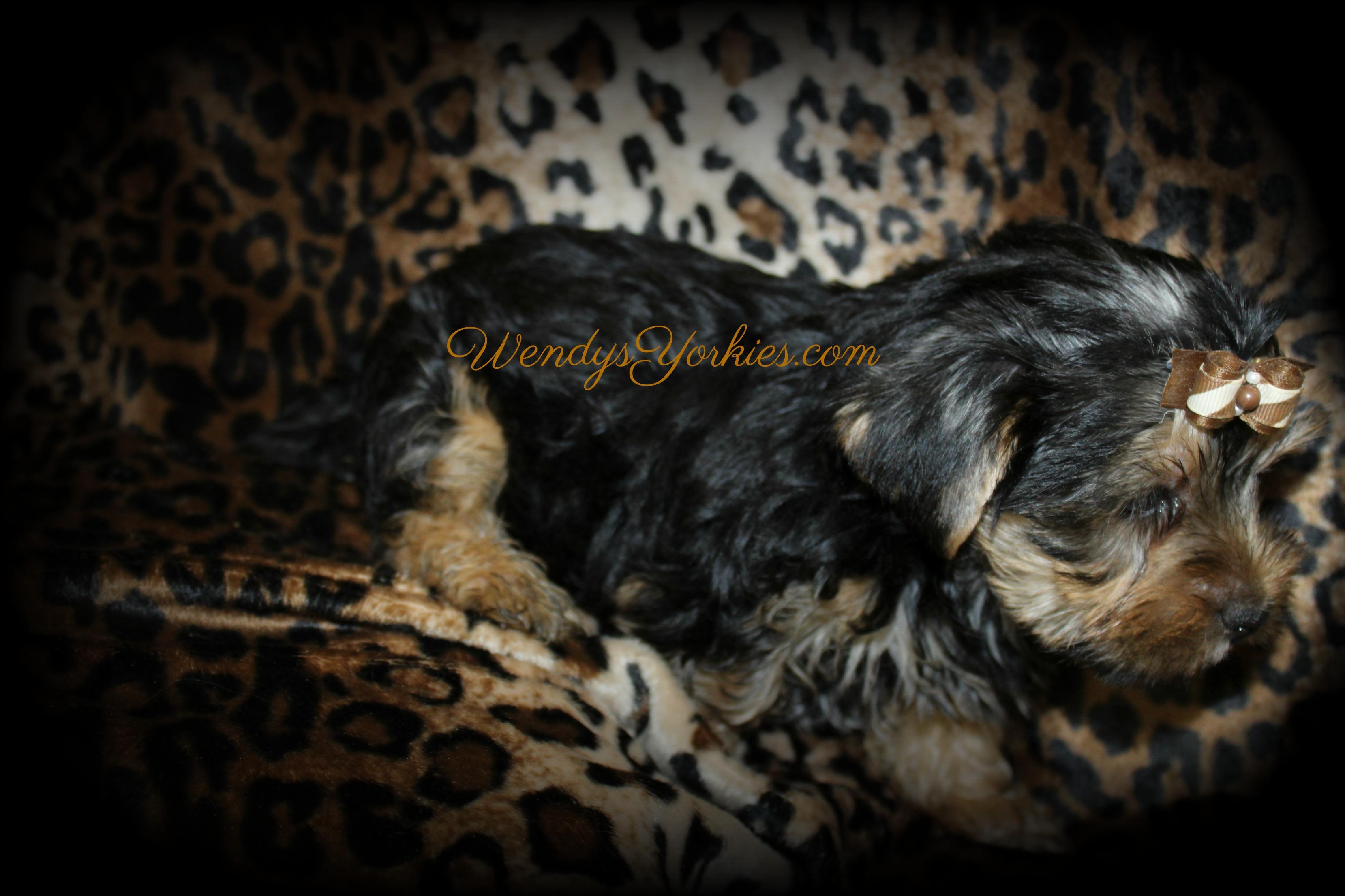 Yorkie puppies for sale, Phoebe m4, WendysYorkies.com