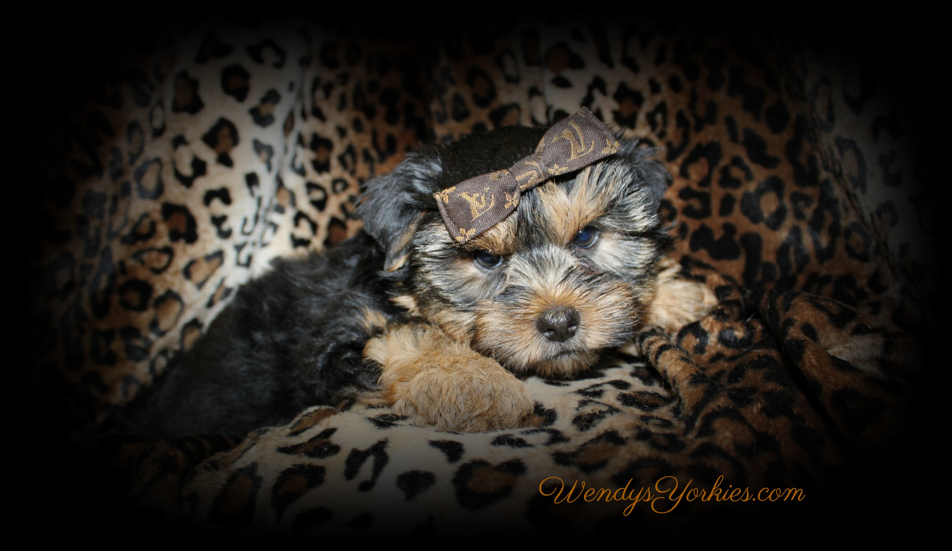 Yorkie puppies for sale in Texas, Phoebe m1, WendysYorkies.com