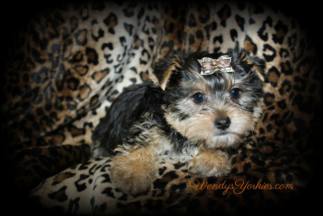 Yorkie puppy for sale Phoebe m3, WendysYorkies.com