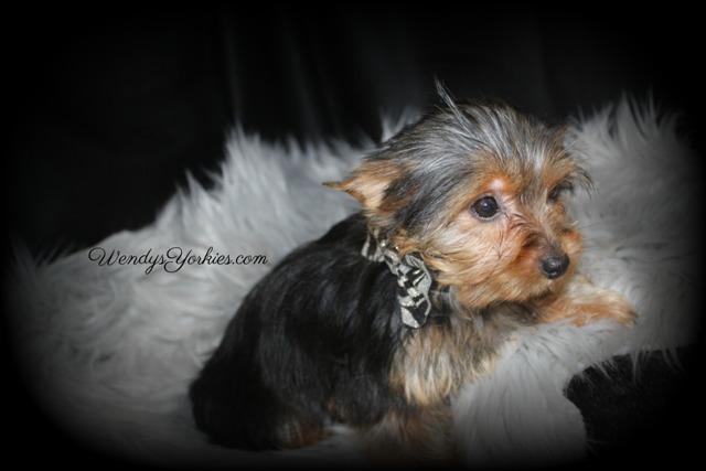 Cute Yorkie puppy for sale in Texas, WendysYorkies.com
