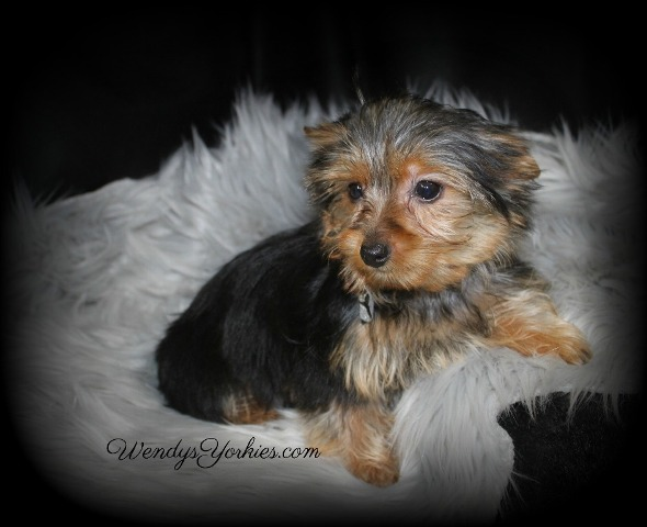 Teacup Yorkie puppies for sale, WendysYorkies.com