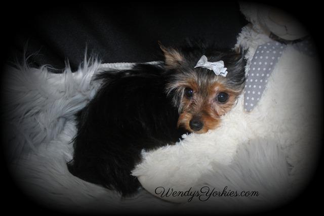 Yorkie snuggle time, Teacup Yorkie puppy for sale, Skeeter m1, WendysYorkies.com
