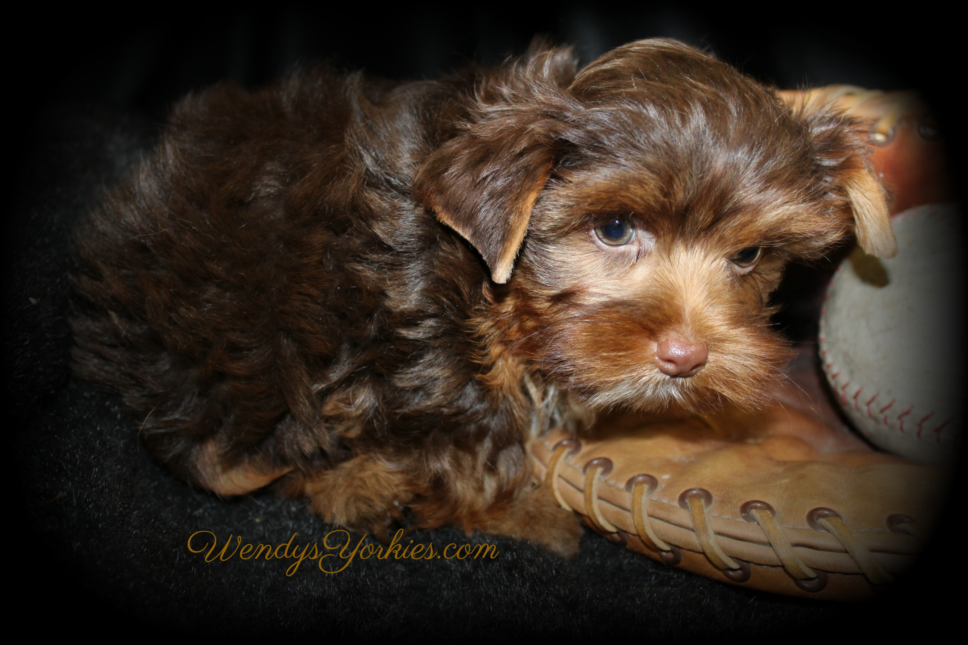 Chocolate Yorkie puppies for sale in Texas, Dixie cm1, WendysYorkies.com