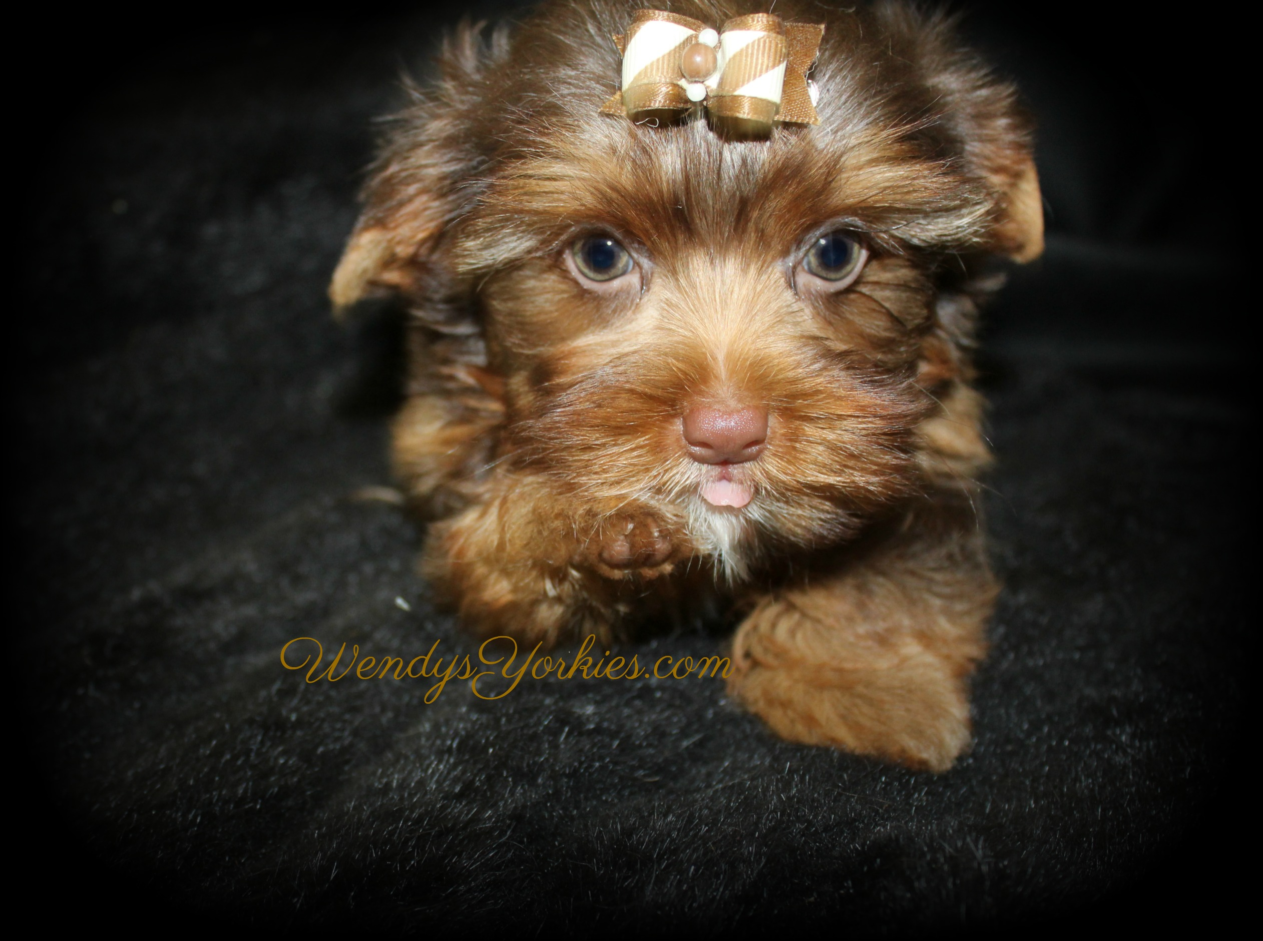 Chocolate Yorkie puppy breeder, Dixie cm1, WendysYorkies.com