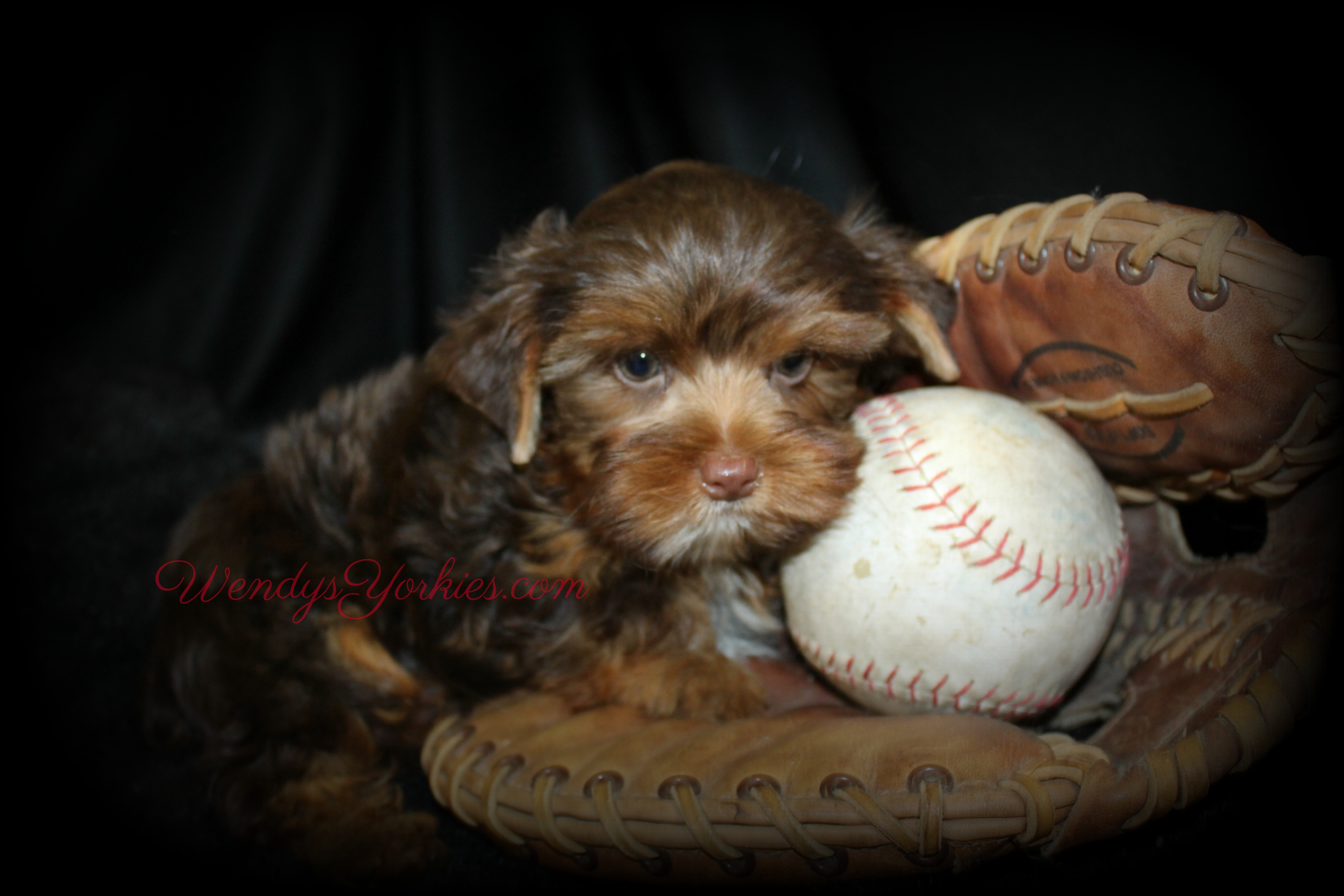 Chocolate Yorkie puppy for sale, Dixie cm1, WendysYorkies.com