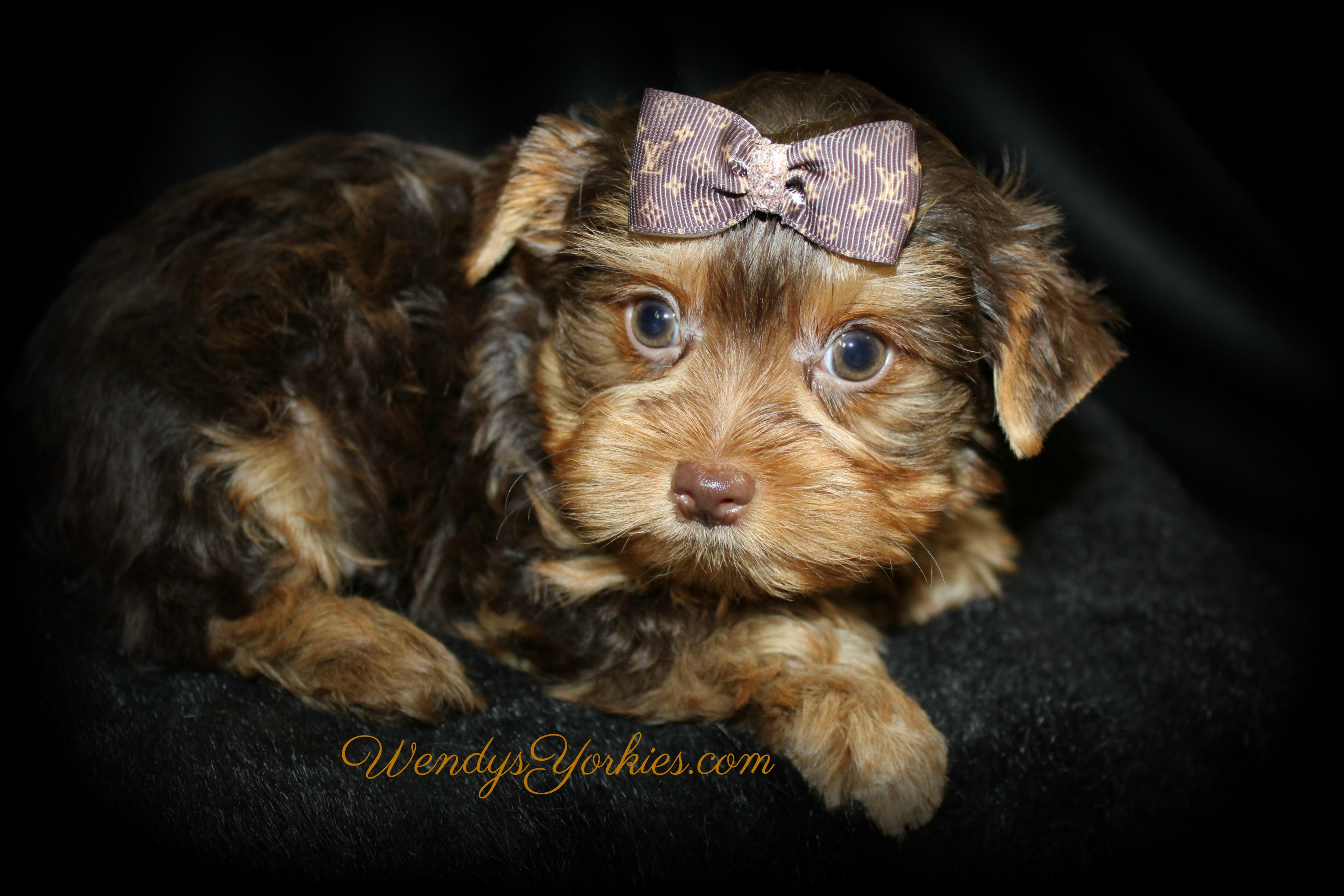 Chocolate Yorkie puppy for sale, Harley cm1, WendysYorkies.com