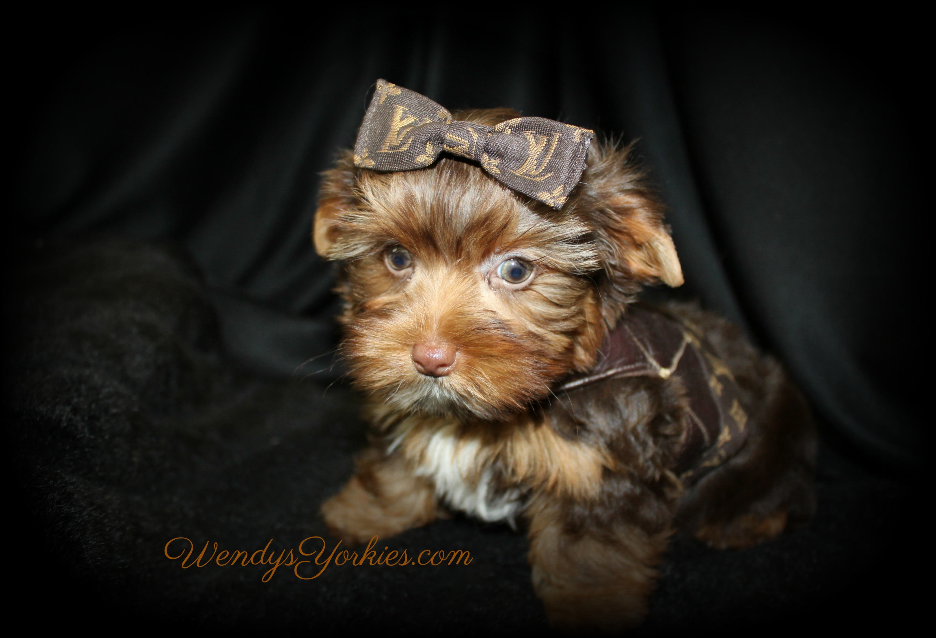 Cute Chocolate Yorkie puppy for sale, Dixie cm1,WendysYorkies.com