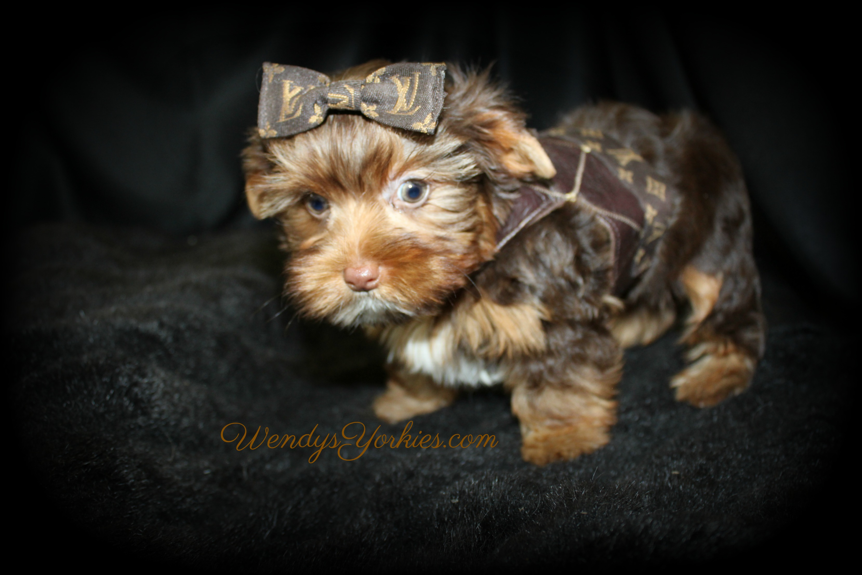 Male Chocolate YOrkie puppy for sale, Dixie cm1, WendysYorkies.com