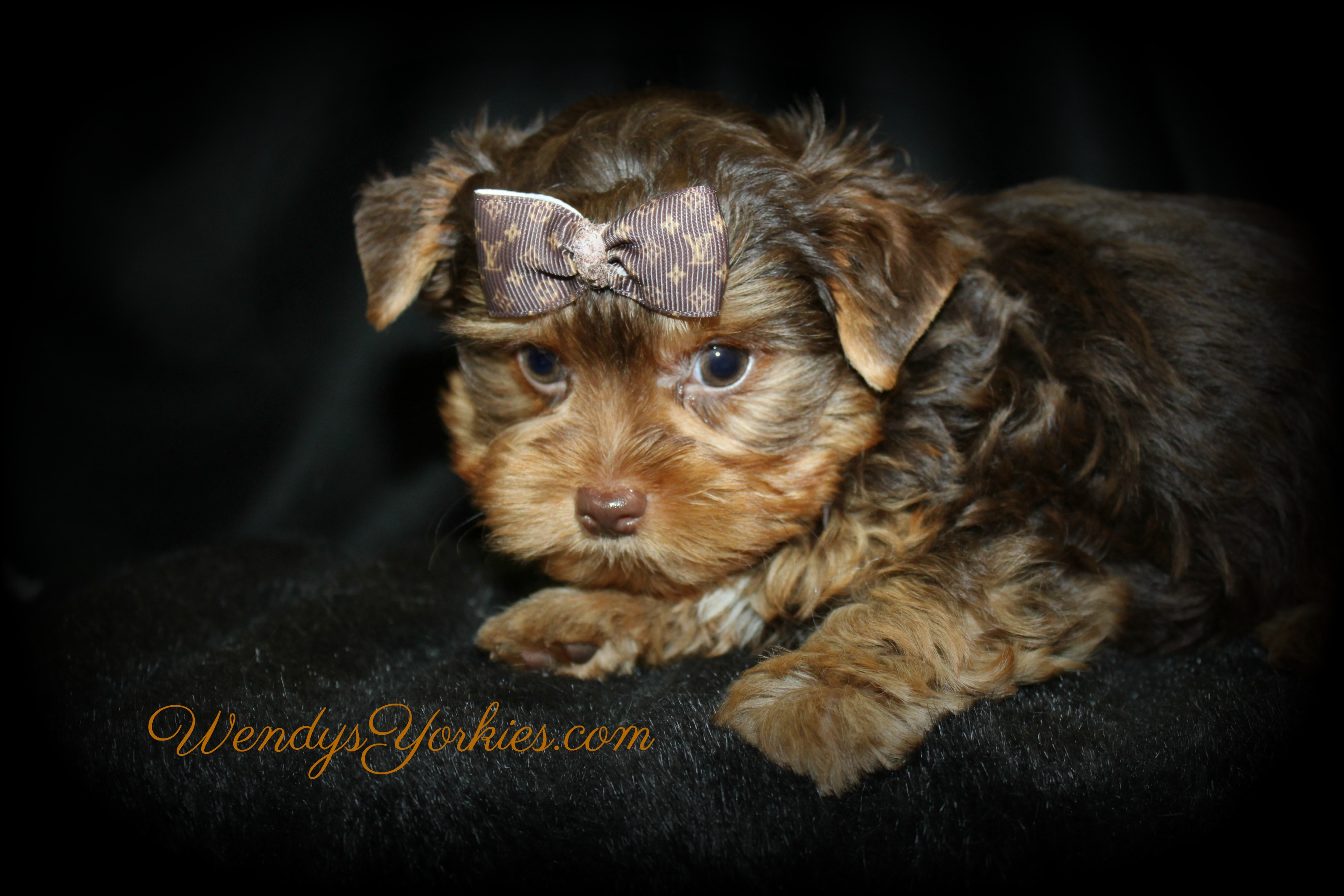 Male Chocolate Yorkie puppy for sale, Harley cm1,WendysYorkies.com