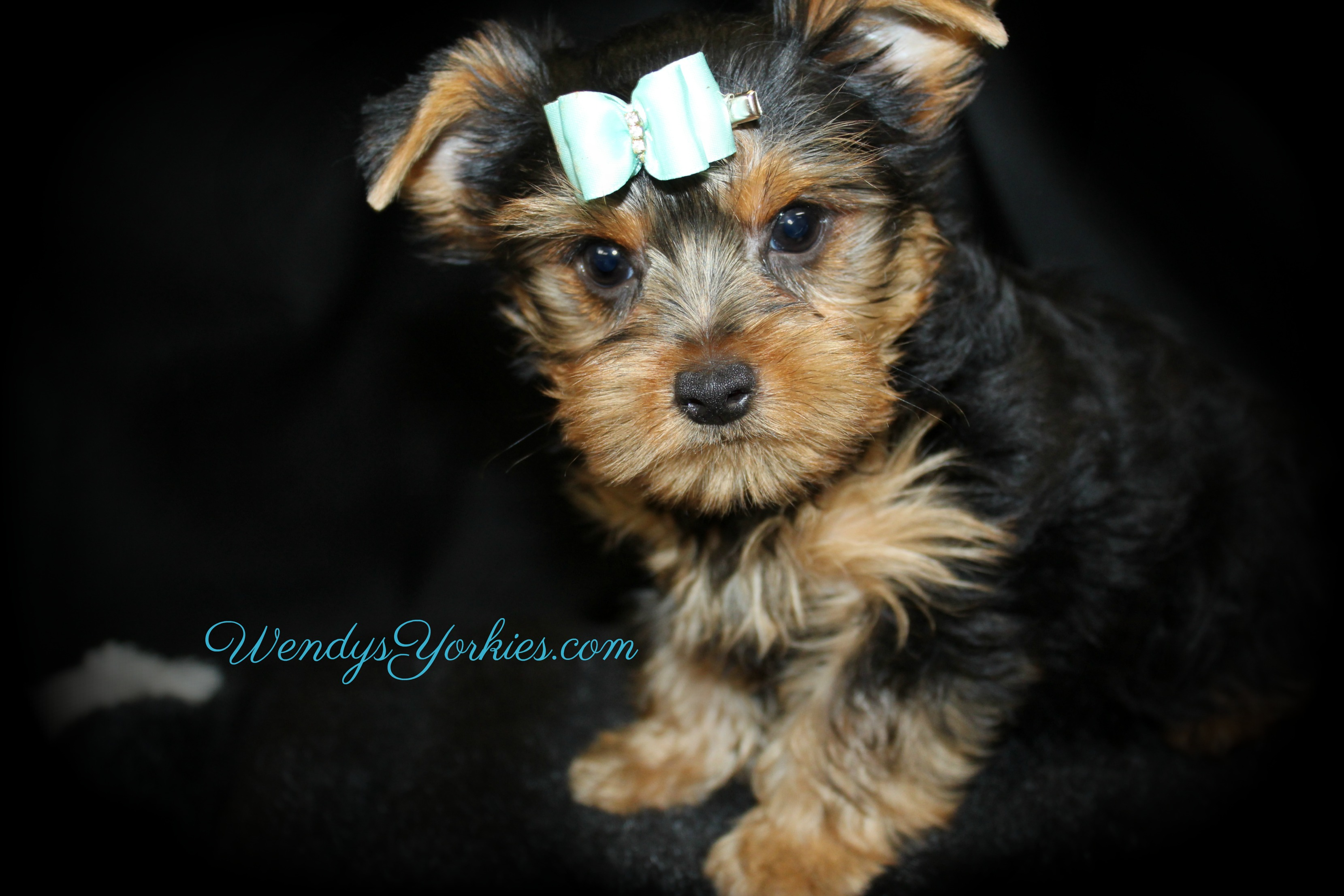 Male Yorkie puppy for sale, Harley tm1, WendysYorkies.com