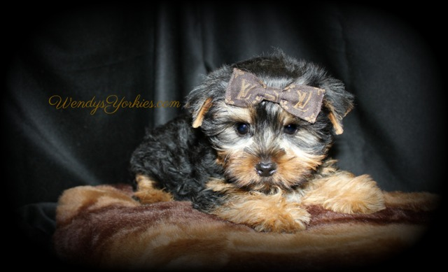 Teacp Male YOrkie puppies for sale in TExas, STar m2,WendysYorkies.com