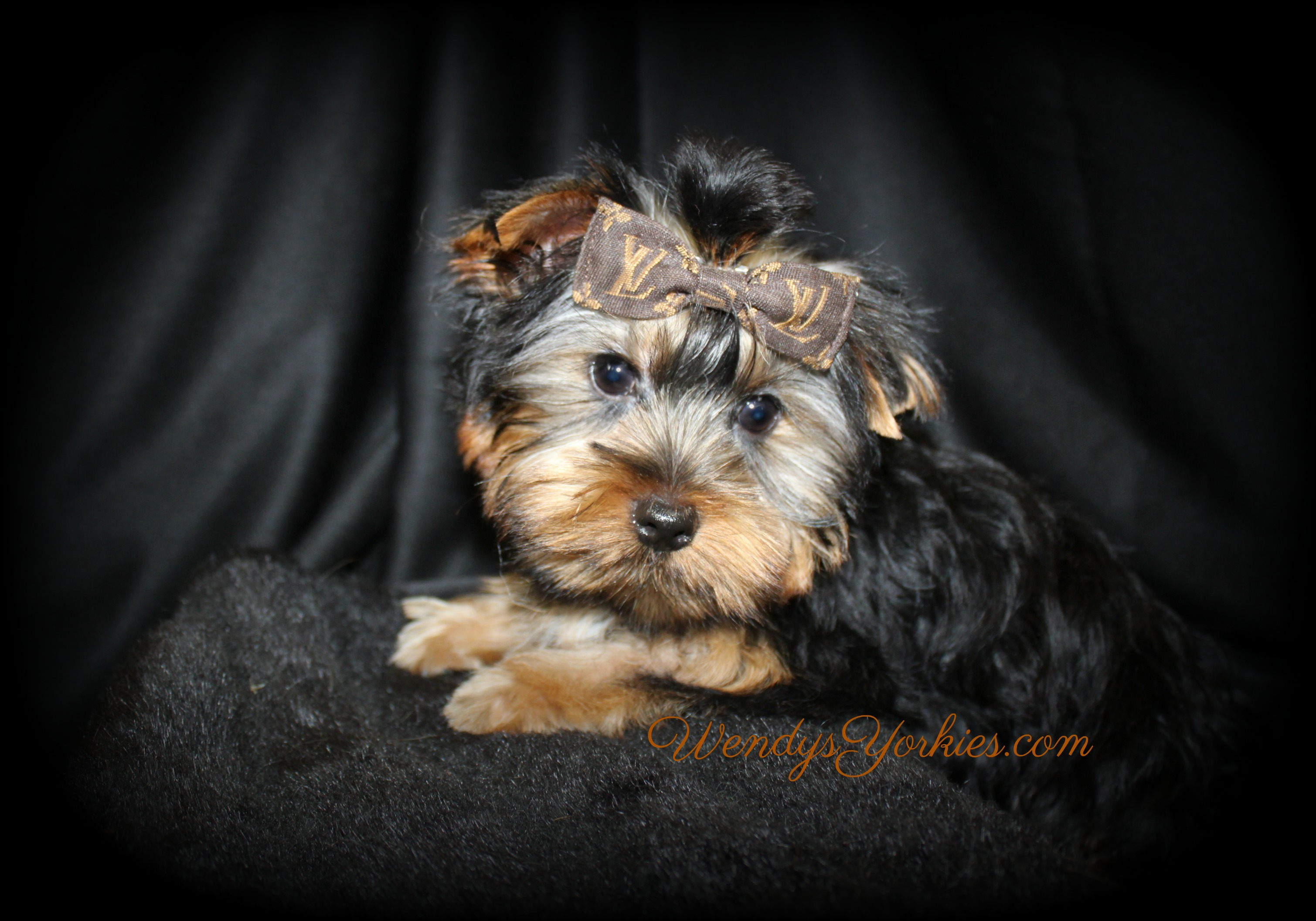 Teacup Male YOrkie puppy for sale, Star m2, WendysYorkies.com
