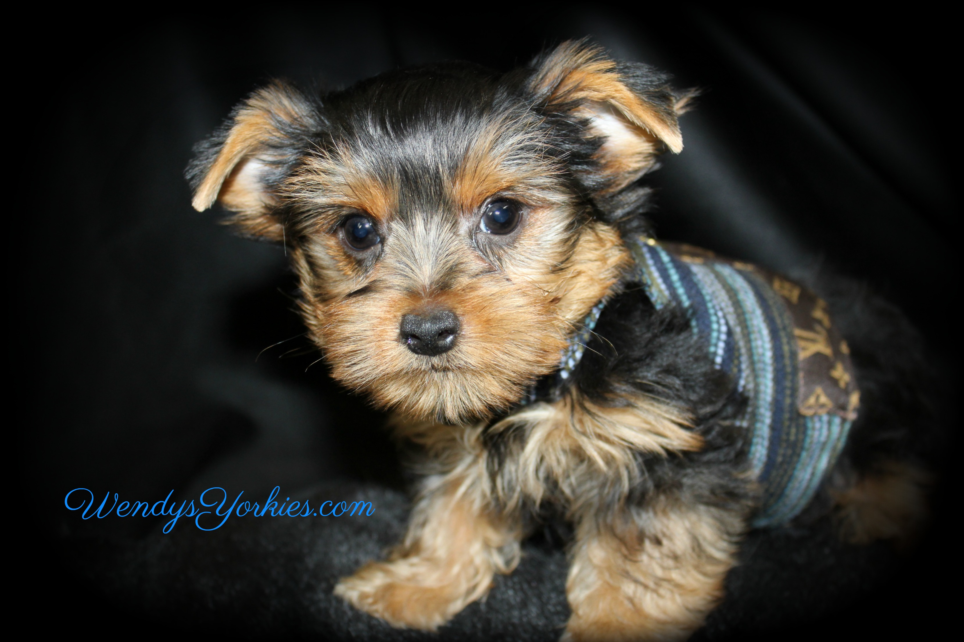 Teacup Male Yorkie puppy for sale, Harley tm1, WendysYorkies.com