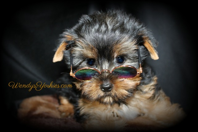 Teacup Male Yorkie puppy for sale, Star m2,WendysYorkies.com
