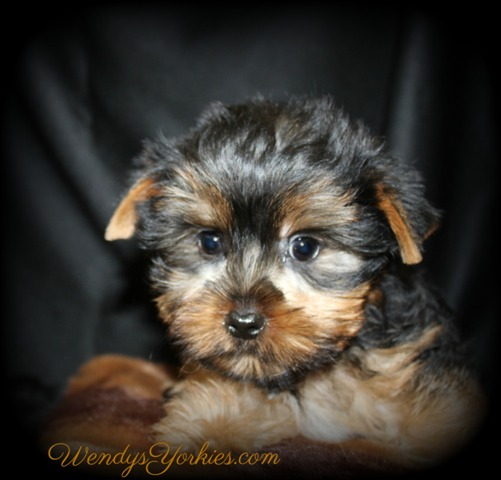 Teacup Yorkie puppies for sale, Star m2,WendysYorkies.com
