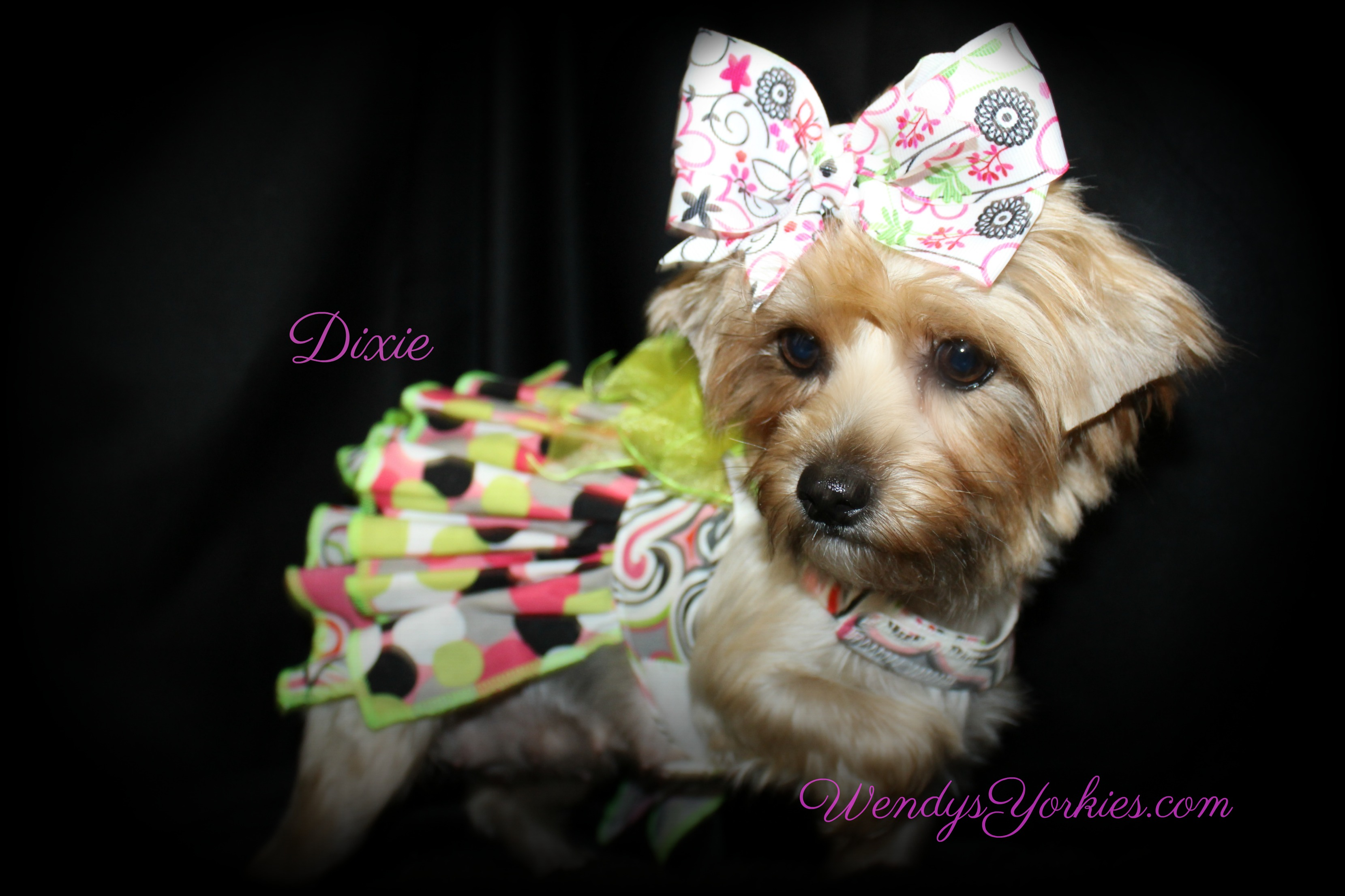 Yorkie puppy breeder in Texas, Dixie, WendysYorkies.com