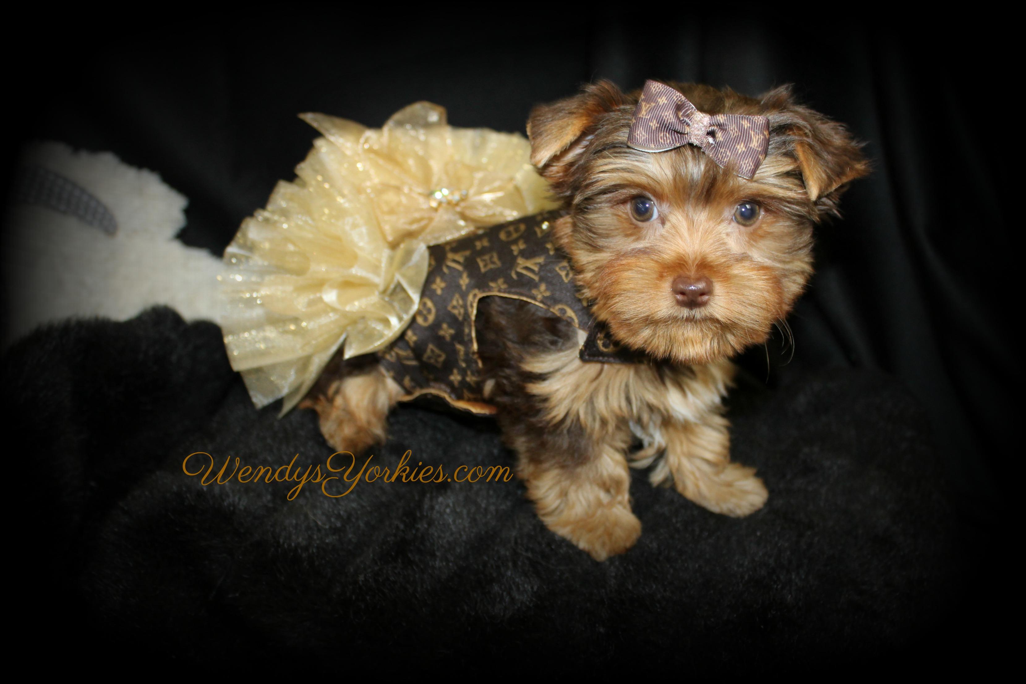 Chocolate Yorkie puppy, WendysYorkies.com, Designer dog clothing, Louis dog dress