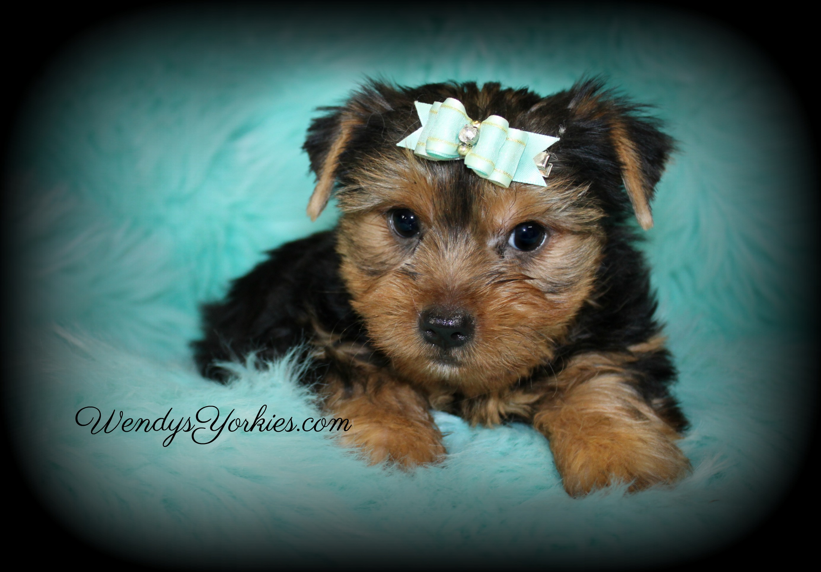 Cute Male Yorkie puppy for sale, Grace m1, WendysYorkies.com