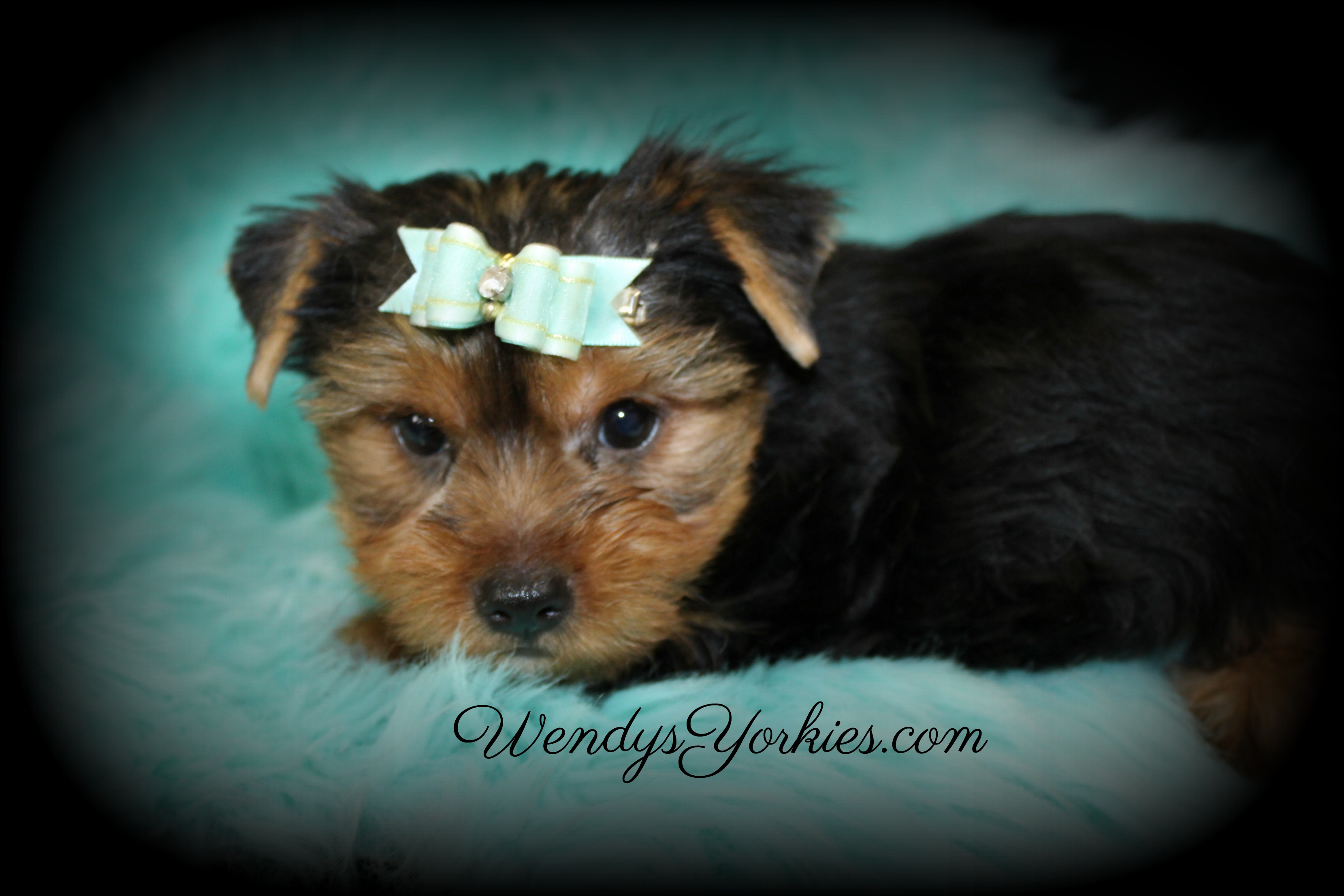 Cute Yorkie puppy for sale, RascalGrace, WendysYorkies.com