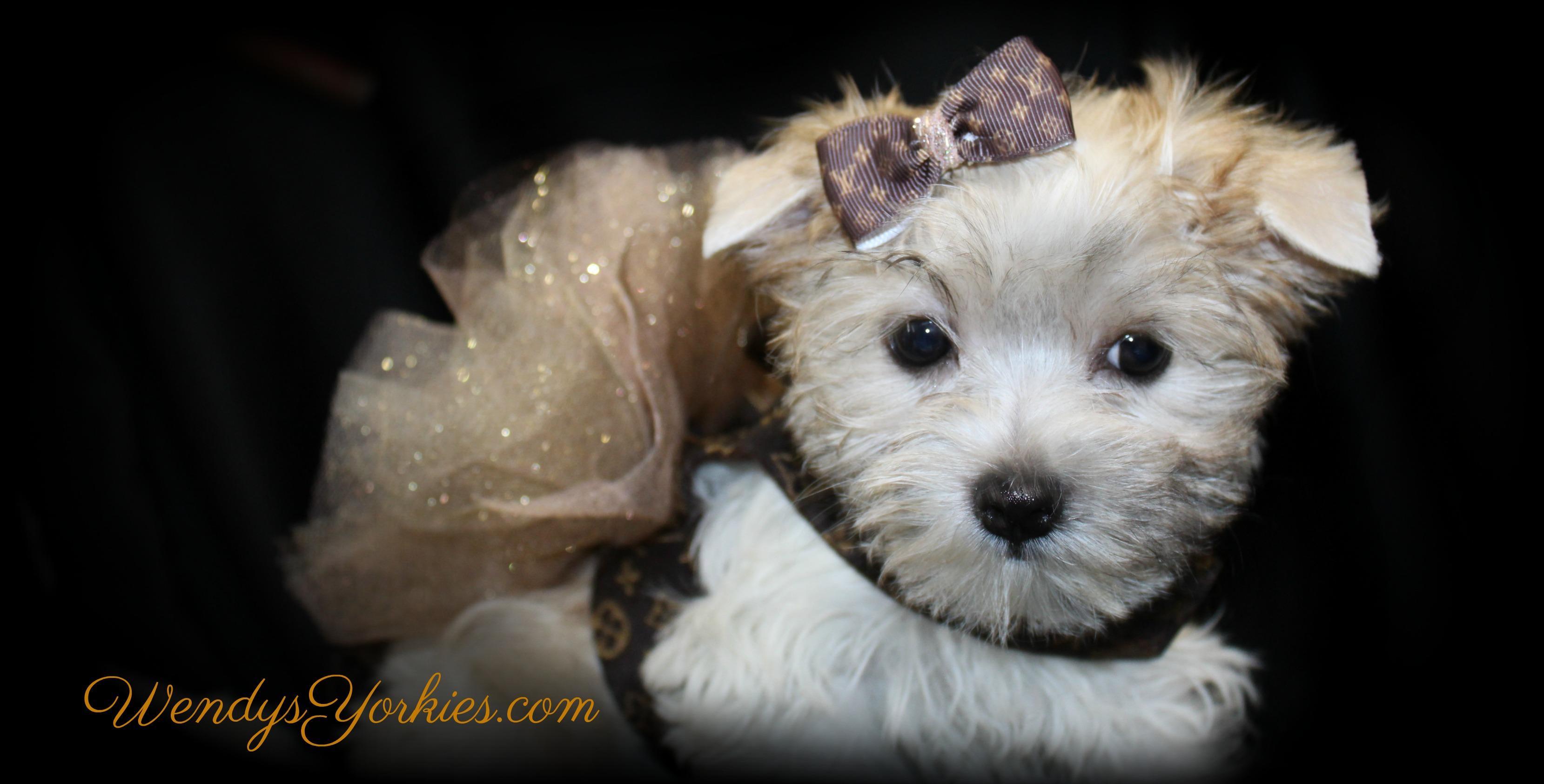 Maltese, Morkie, and Yorktese Puppies For Sale TX   Wendys Yorkies