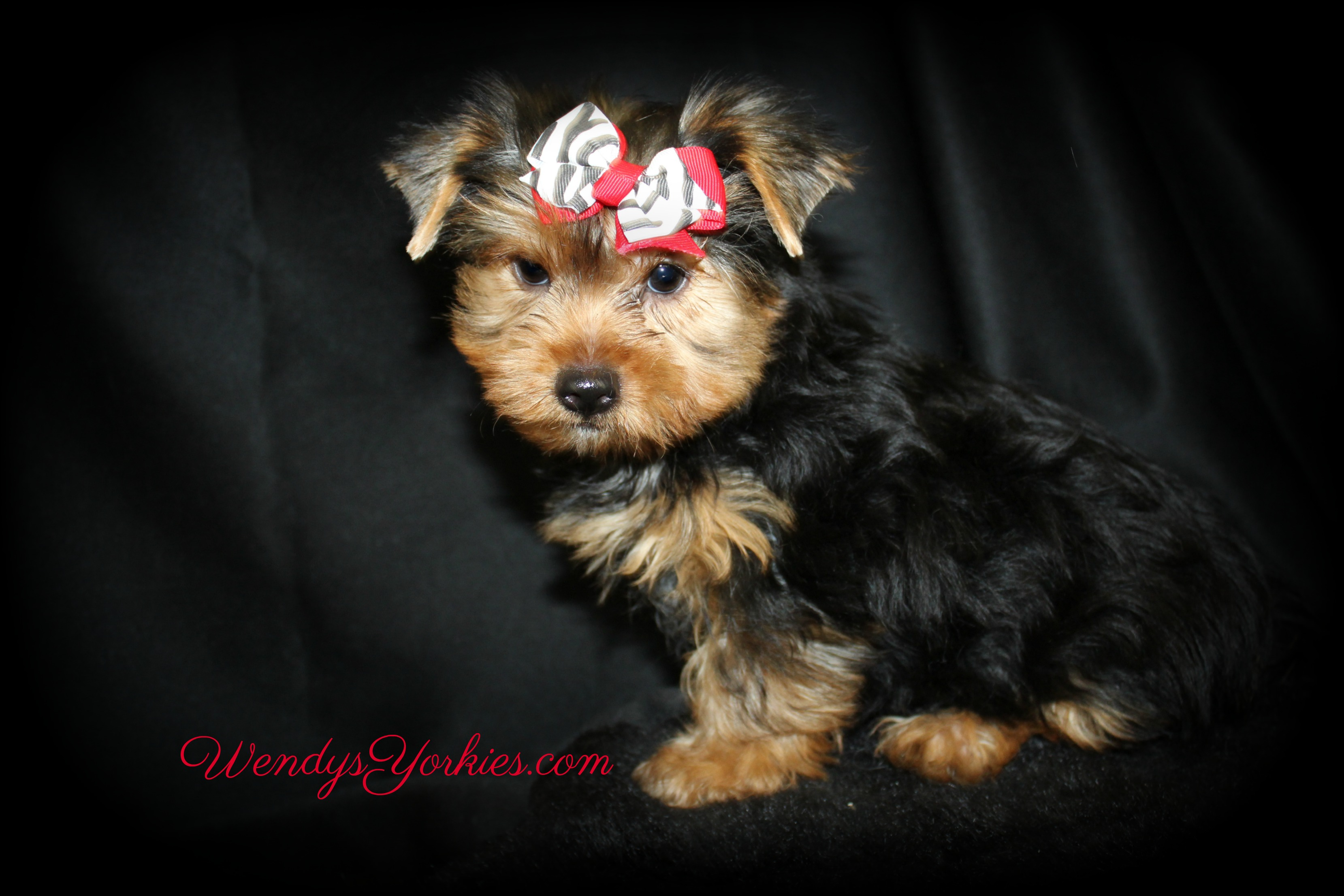 Rascal, Male Yorkie puppy for sale, WendysYorkies.com