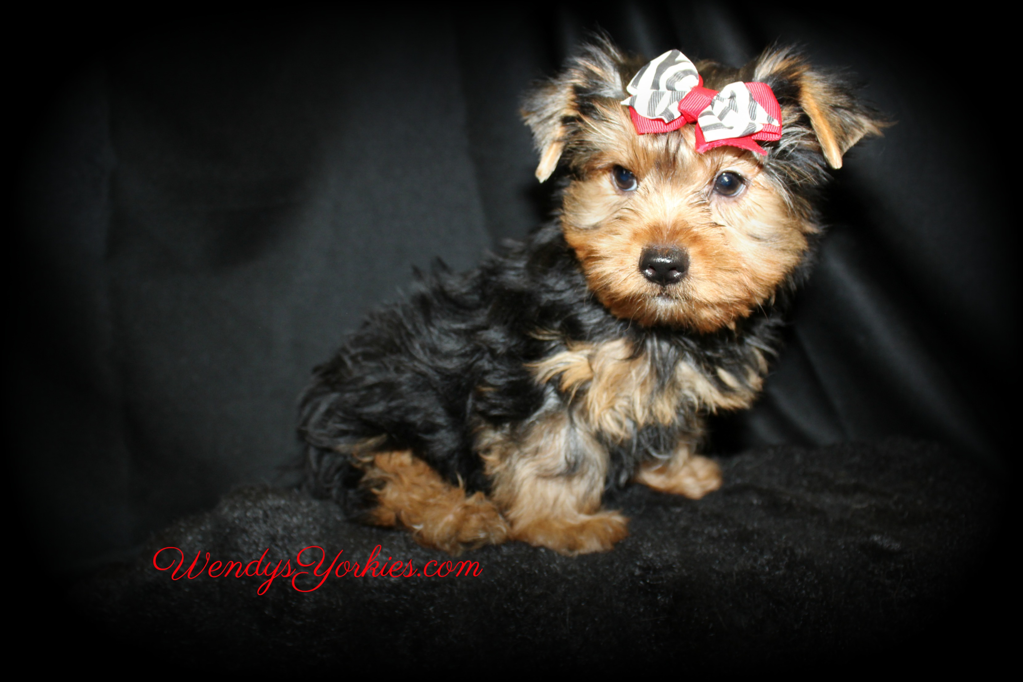 Rascal the Yorkie puppy, WendysYorkies.com