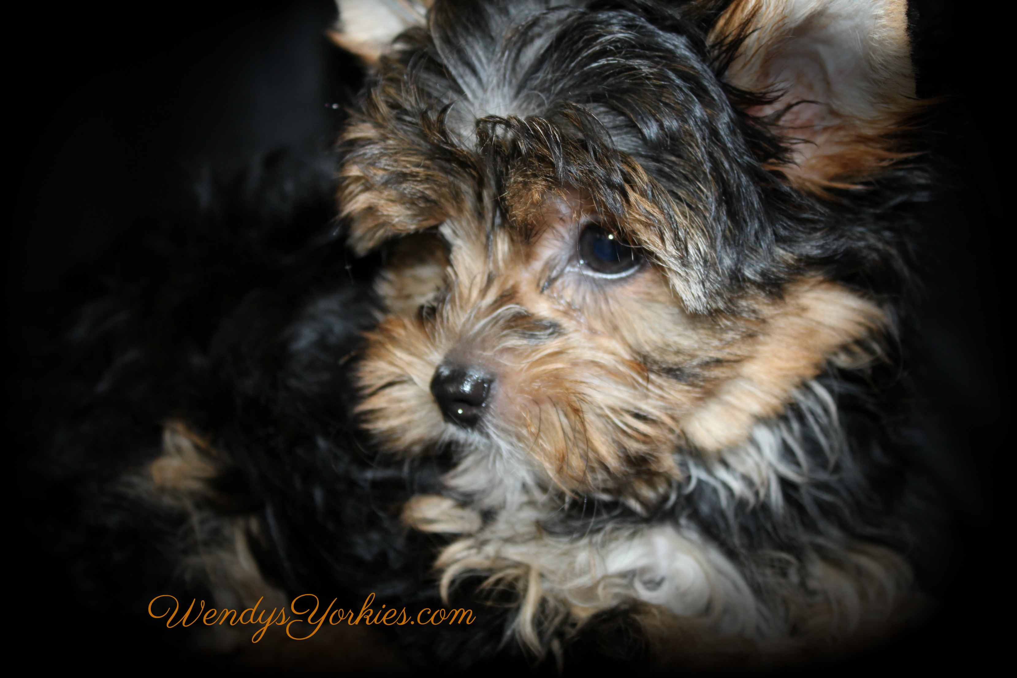 Teacup Male YOrkie puppy for sale, Loulou m1, WendysYorkies.com