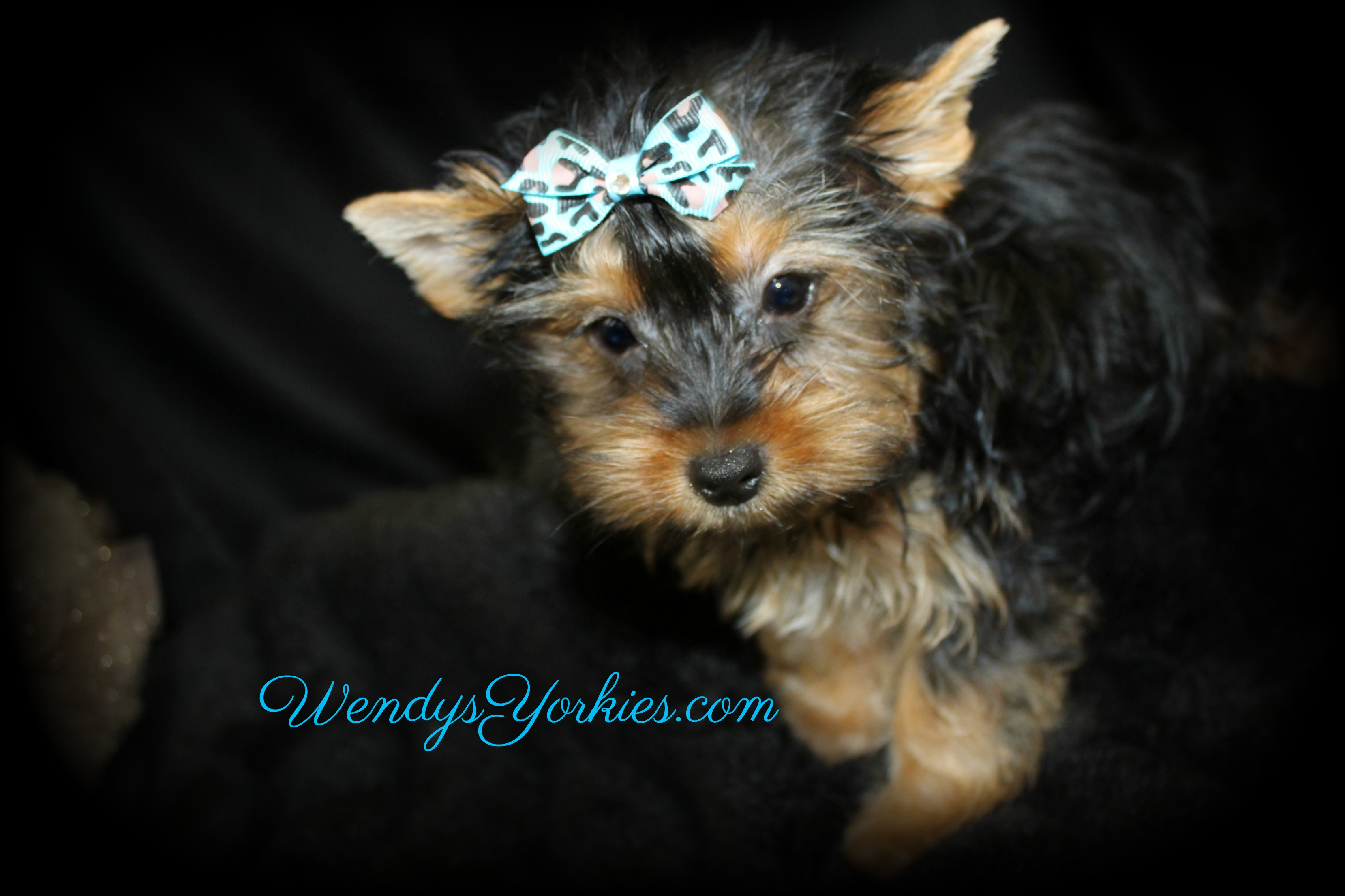 Teacup Male Yorkie puppy for sale, Anna m1, WendysYorkies.com