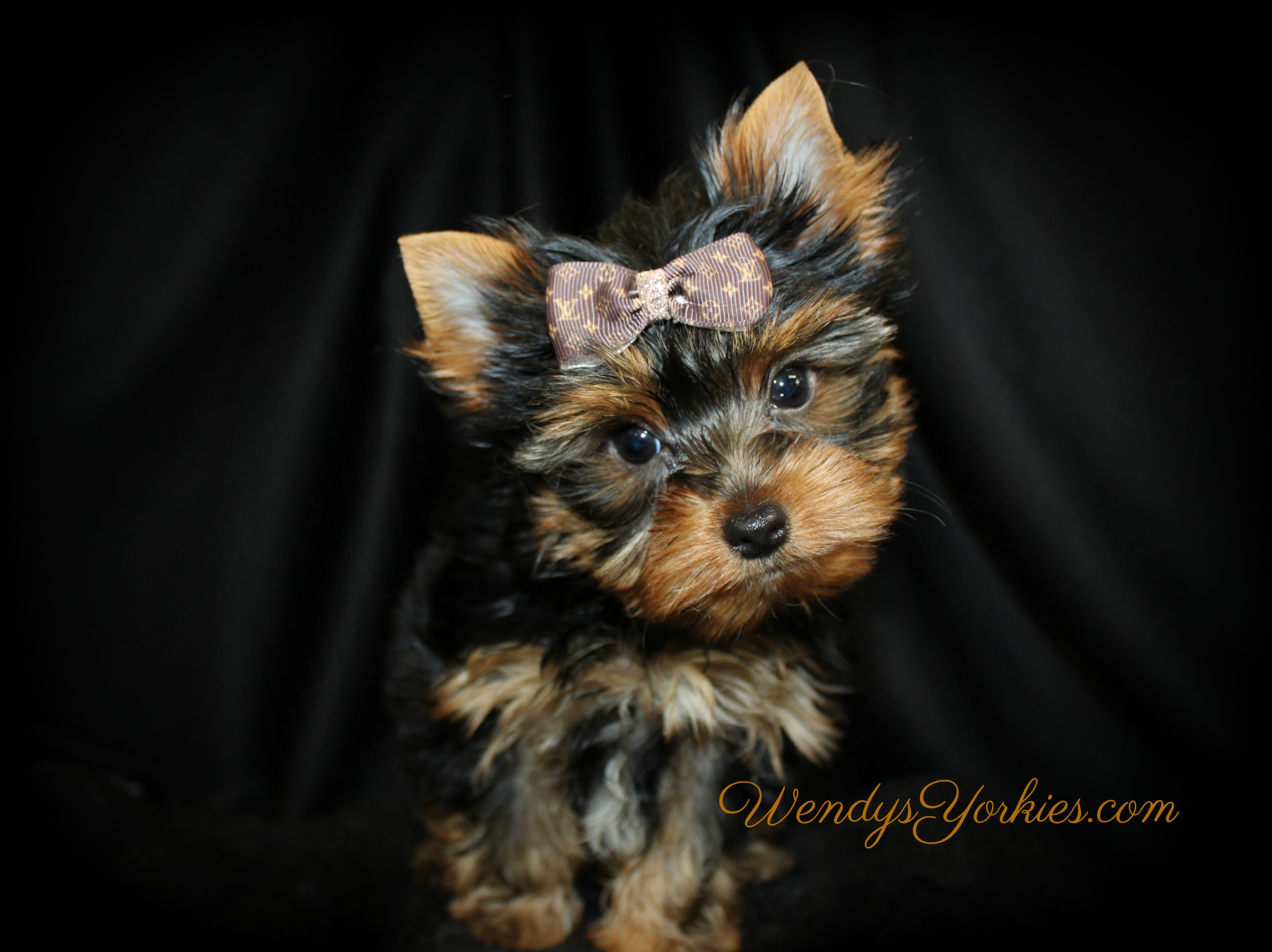 Tiny Male YOrkie puppy for sale, Haley m1, Ringo, WendysYorkies.com