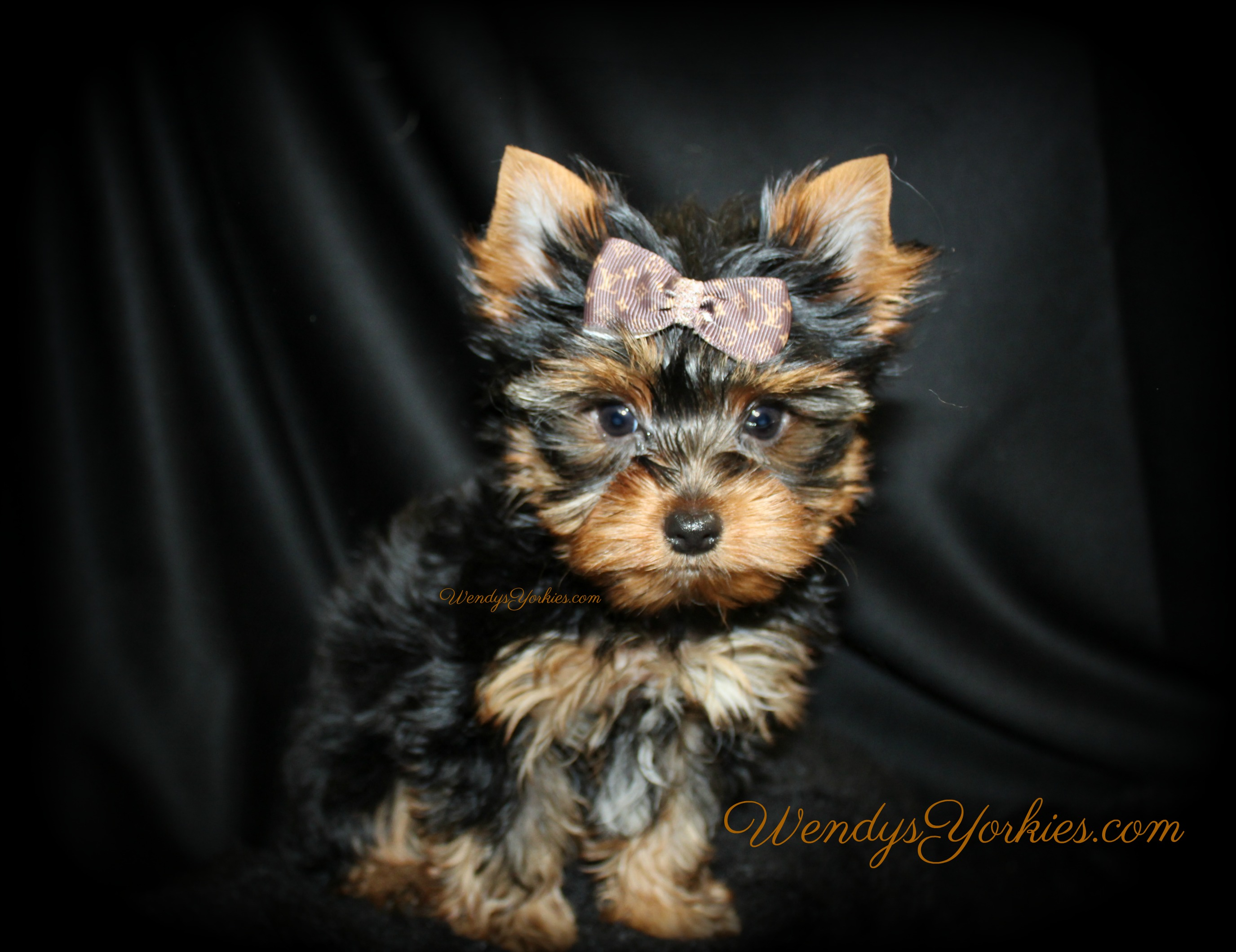Tiny Male YOrkie puppy for sale, Haley m1, WendysYorkies.com