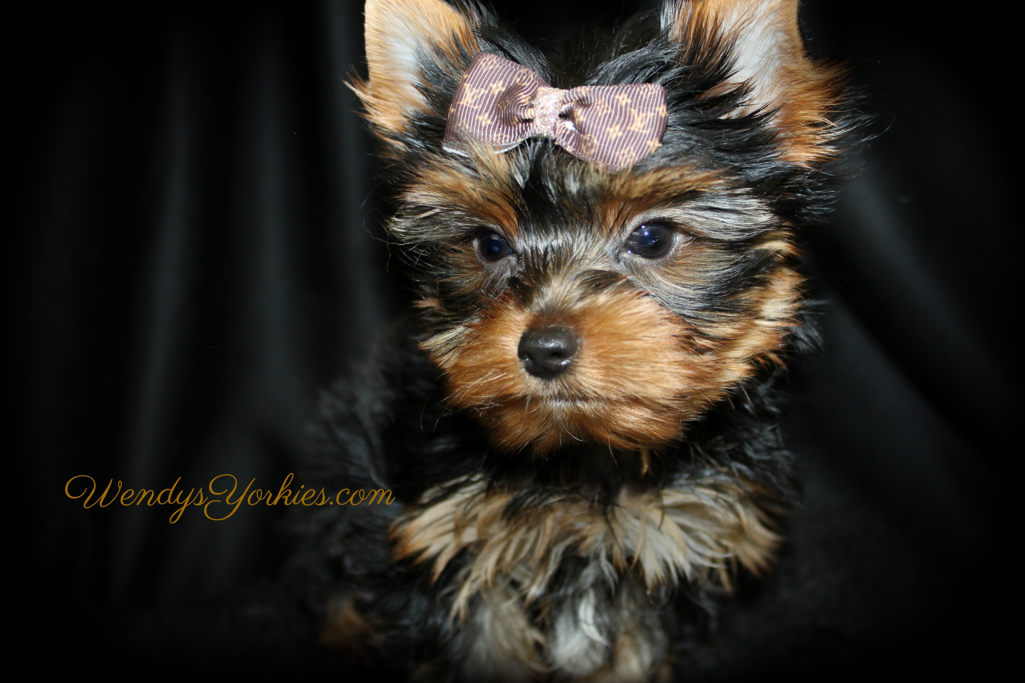 Tiny Teacup Male Yorkie puppy for sale, Haley m1, Ringo, WendysYorkies.com