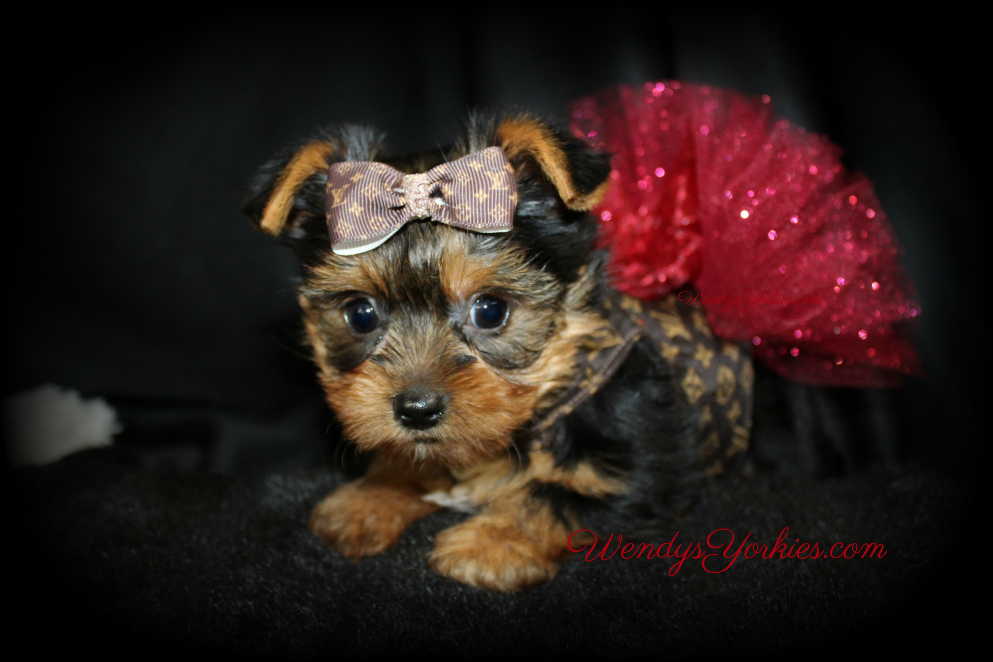 Tiny Teacup Yorkie Puppies For Sale Near Me