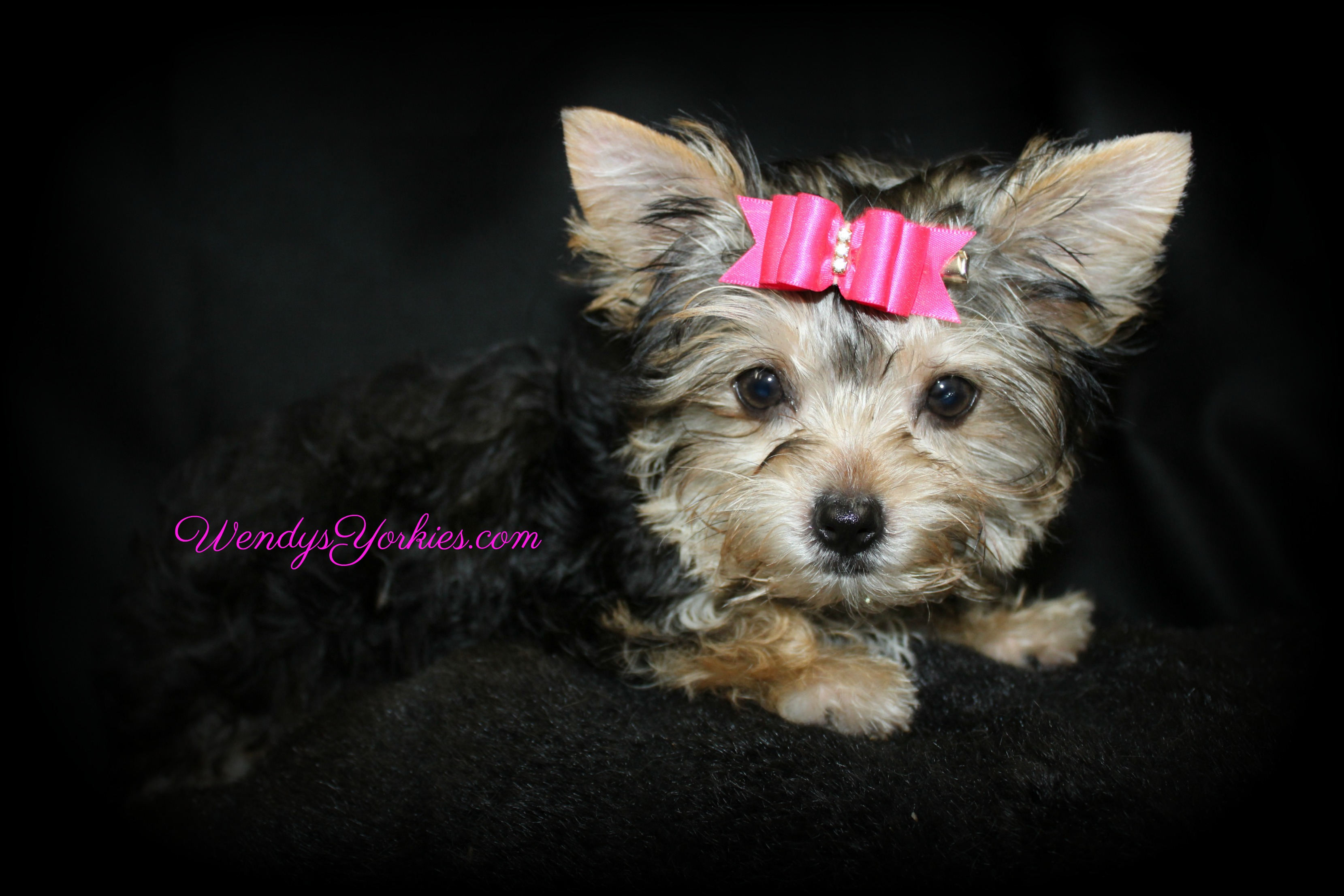 Female Teacup Yorkie Puppies For Sale in TX | Wendys Yorkies