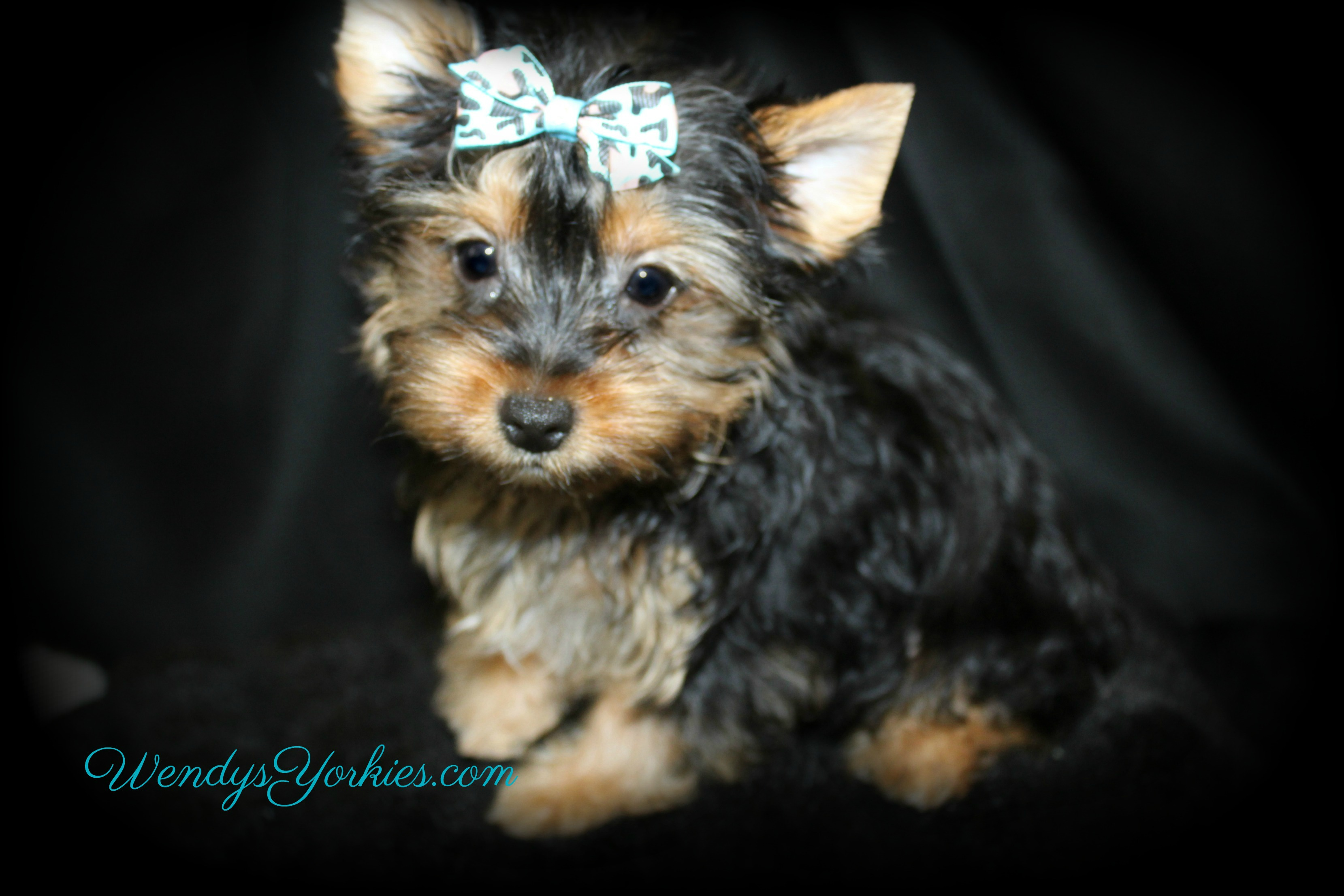 Toy Yorkie puppy for sale, Male yorkie puppy in Texas, Anna m1, WendysYorkies.com