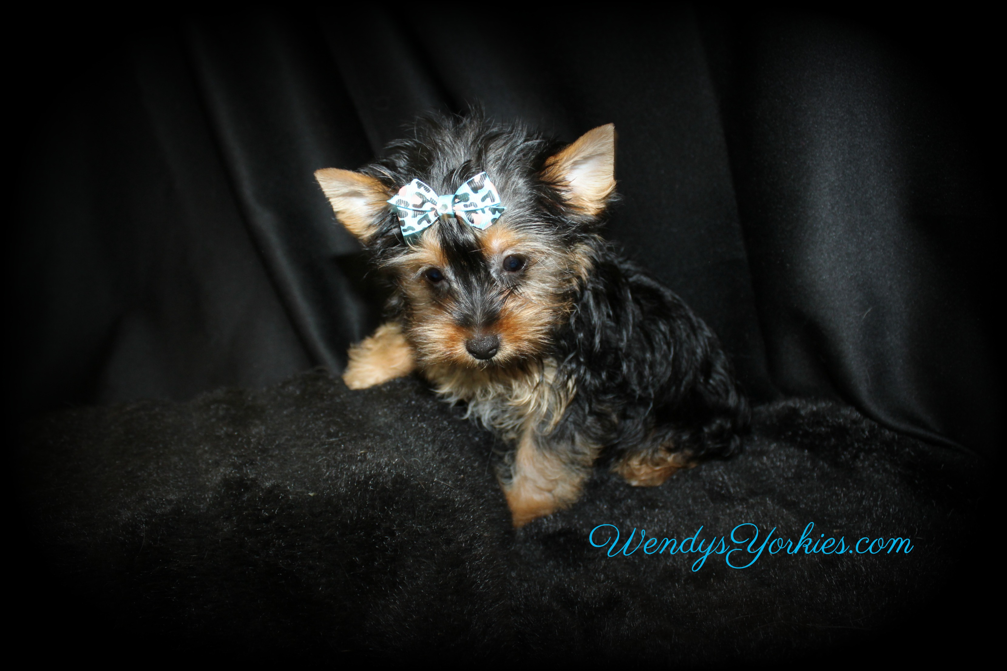 Yorkie puppies for sale in Texas, Anna m1, WendysYorkies.com