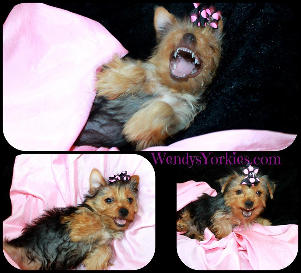 Reasons to Purchase a Yorkie Puppy