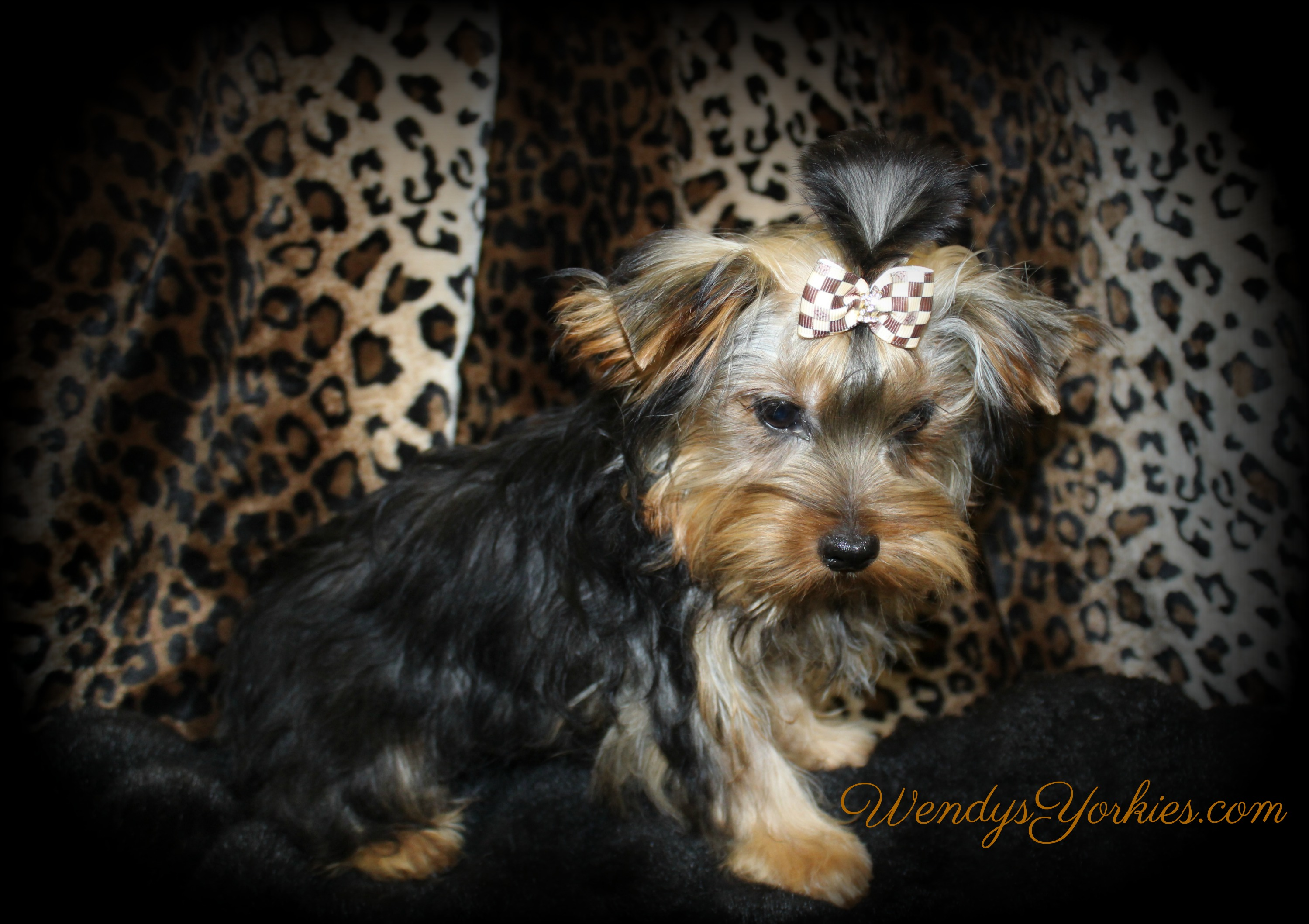 Cute Yorkie puppy for sale in Texas, Jax, WendysYorkies.com