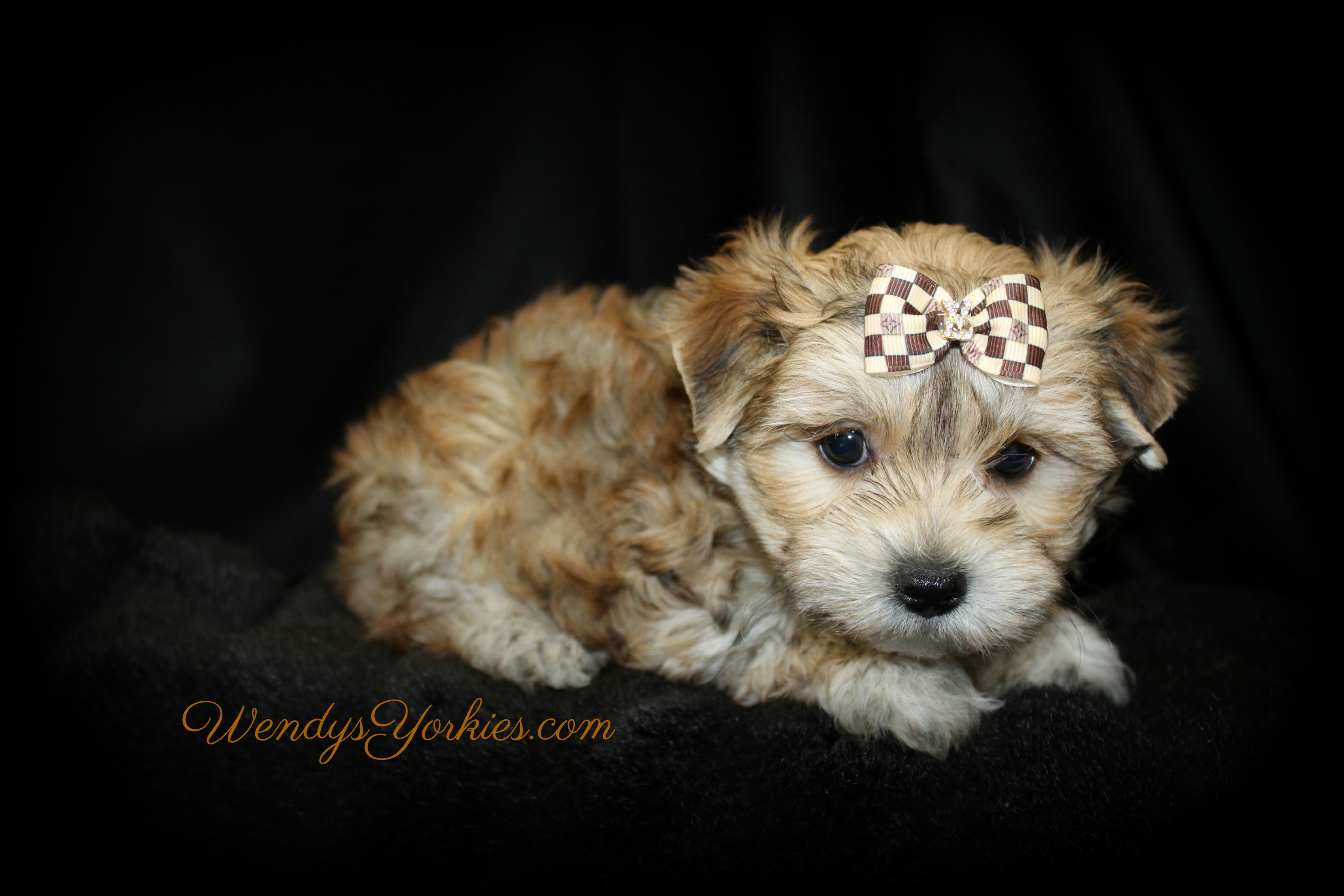 Morkies for sale in texas