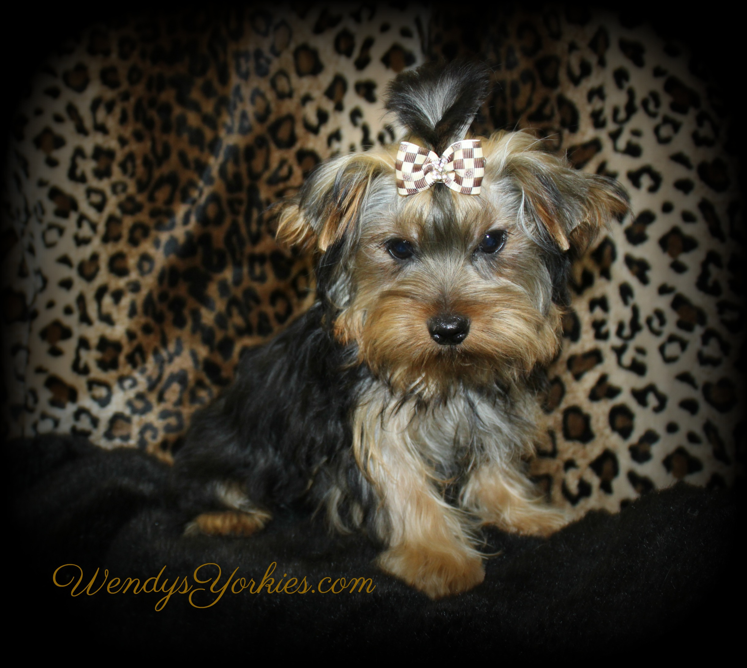 Male Yorkie puppy for sale, Jax, WendysYorkies.com