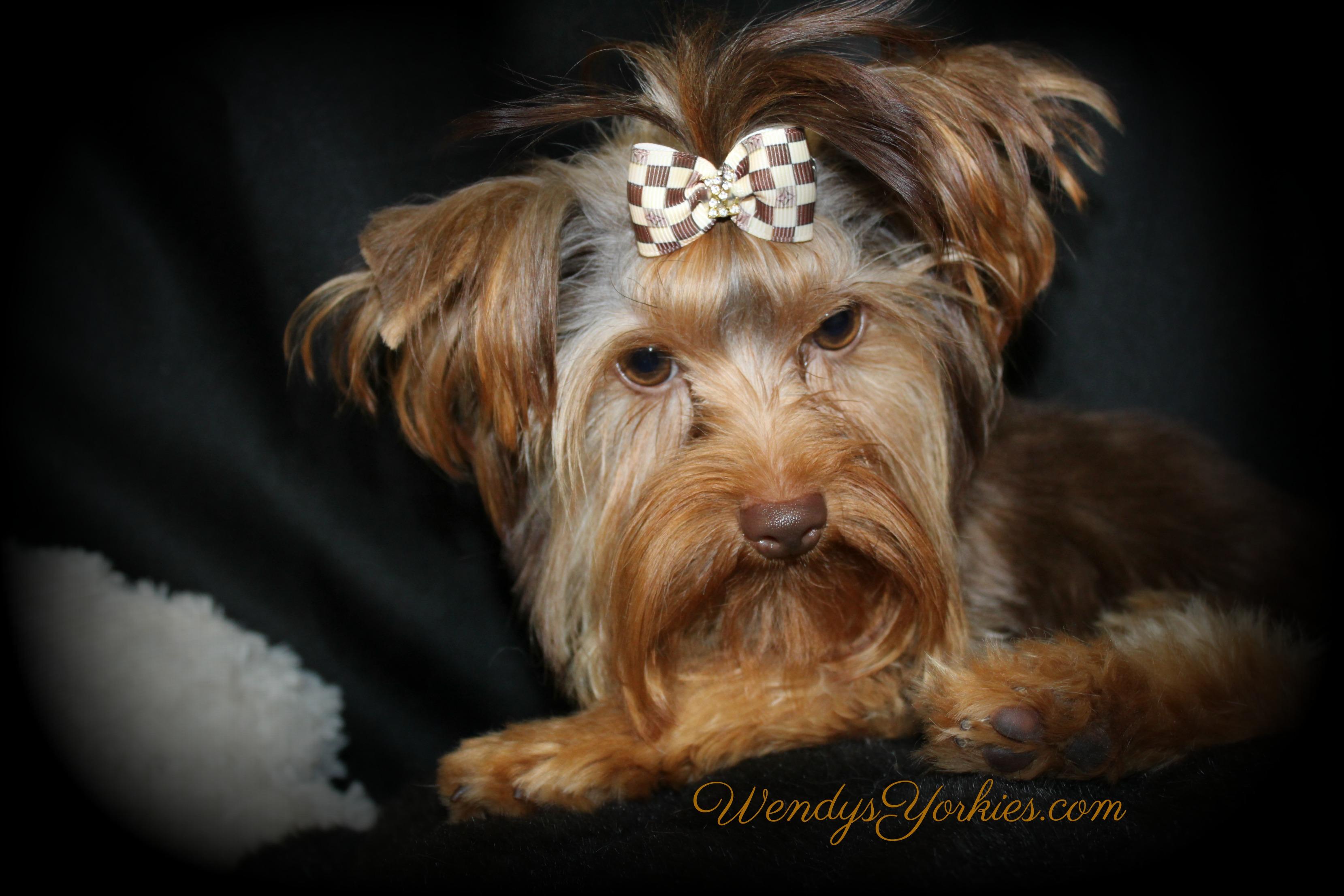 Tec, Chocolate Yorkie puppy for sale, WendysYorkies.com