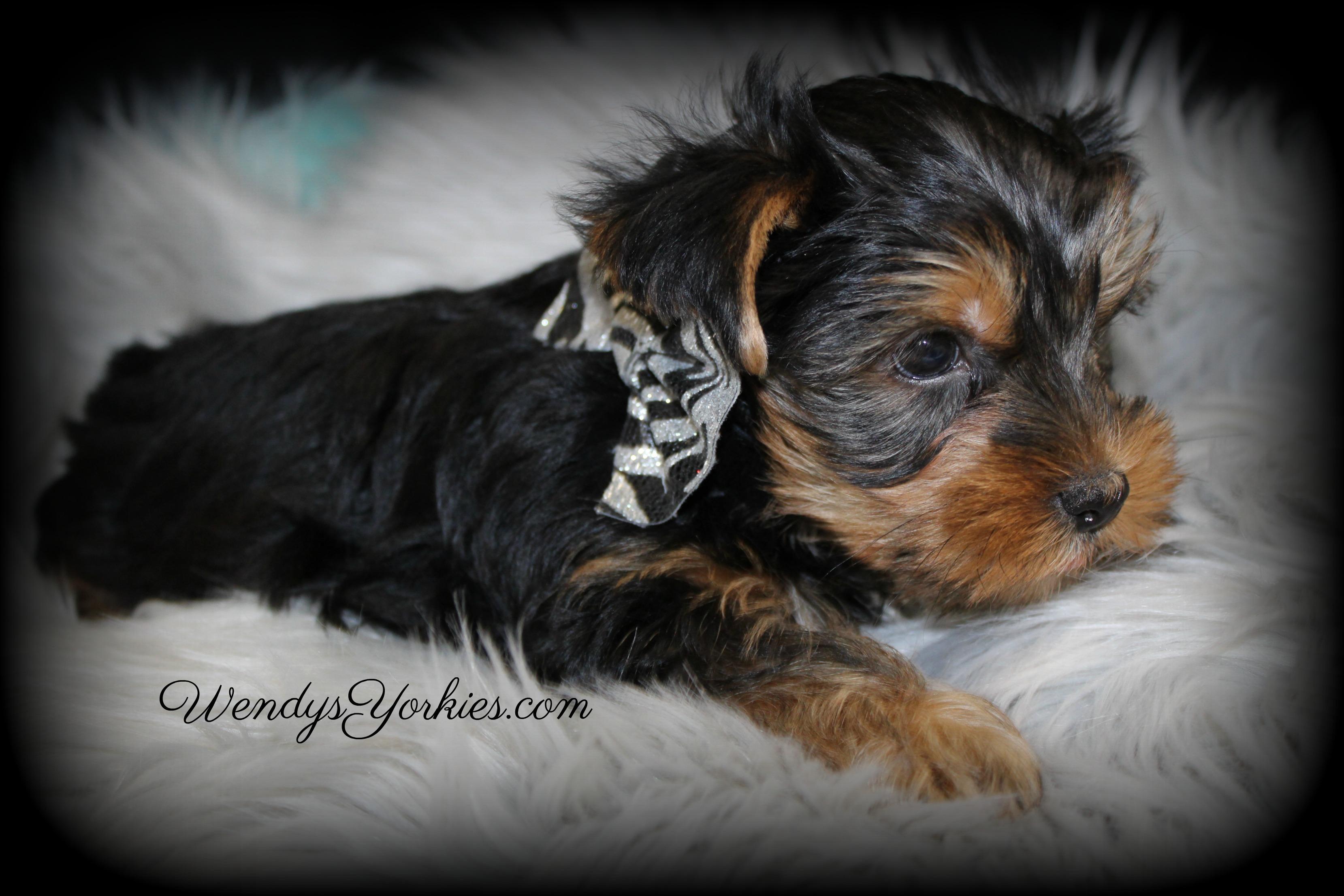 Male YOrkie puppy, WendysYorkies.com