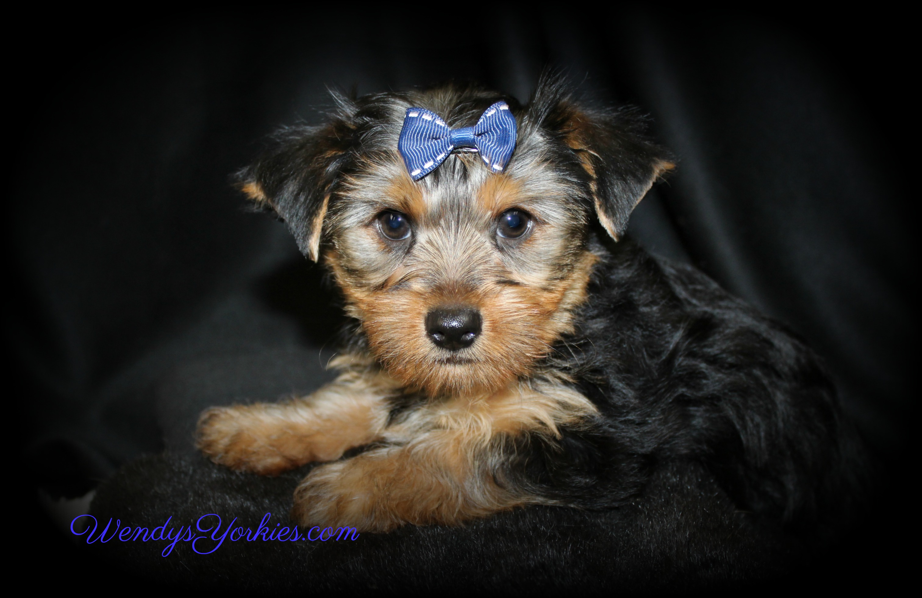 Male YOrkie puppy for sale, Tgm1, WendysYorkies.com