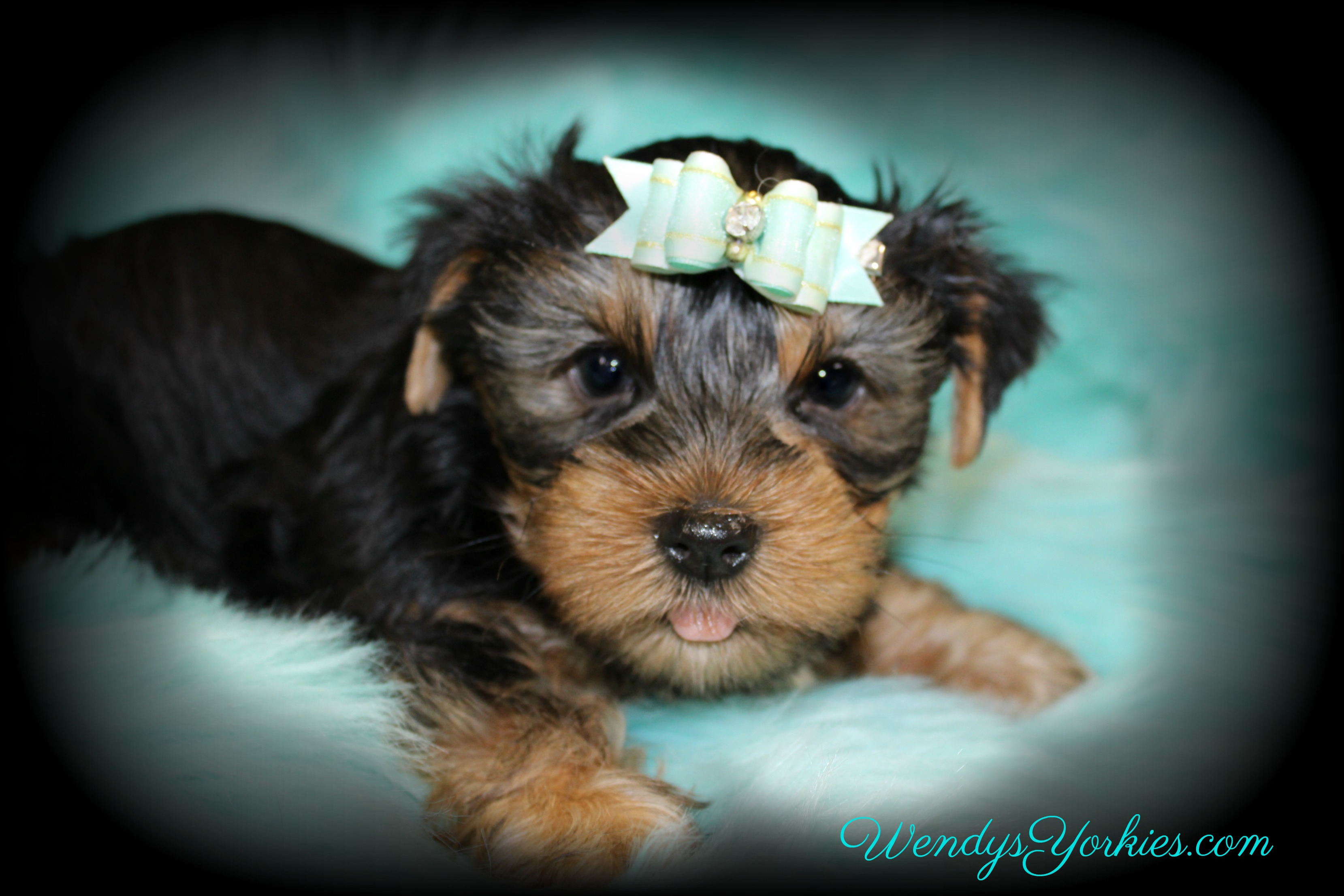 Male Yorkie puppy for sale, Lee, WendysYorkies.com