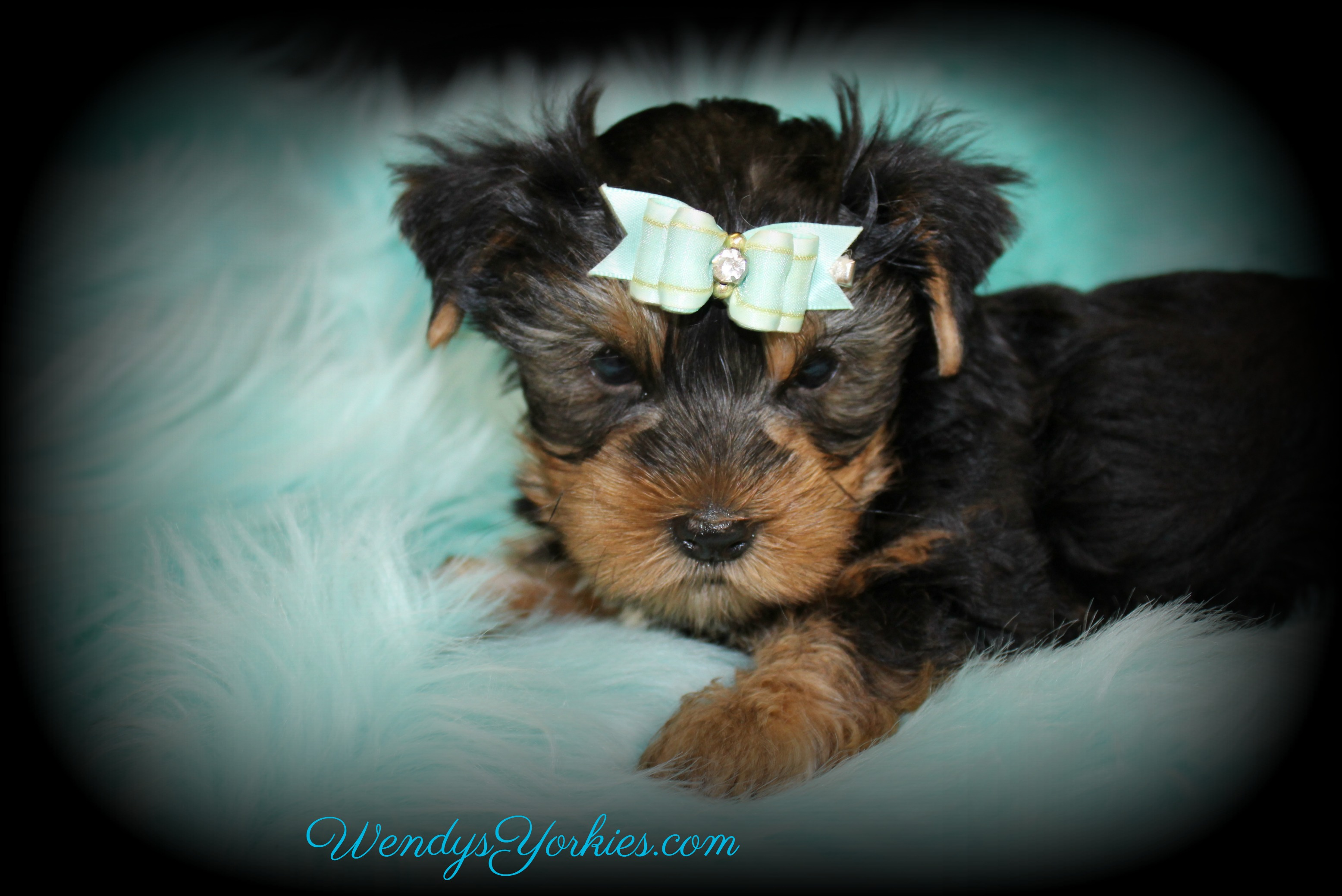 Standard size Yorkie puppy for sale, Lee, WendysYorkies.com