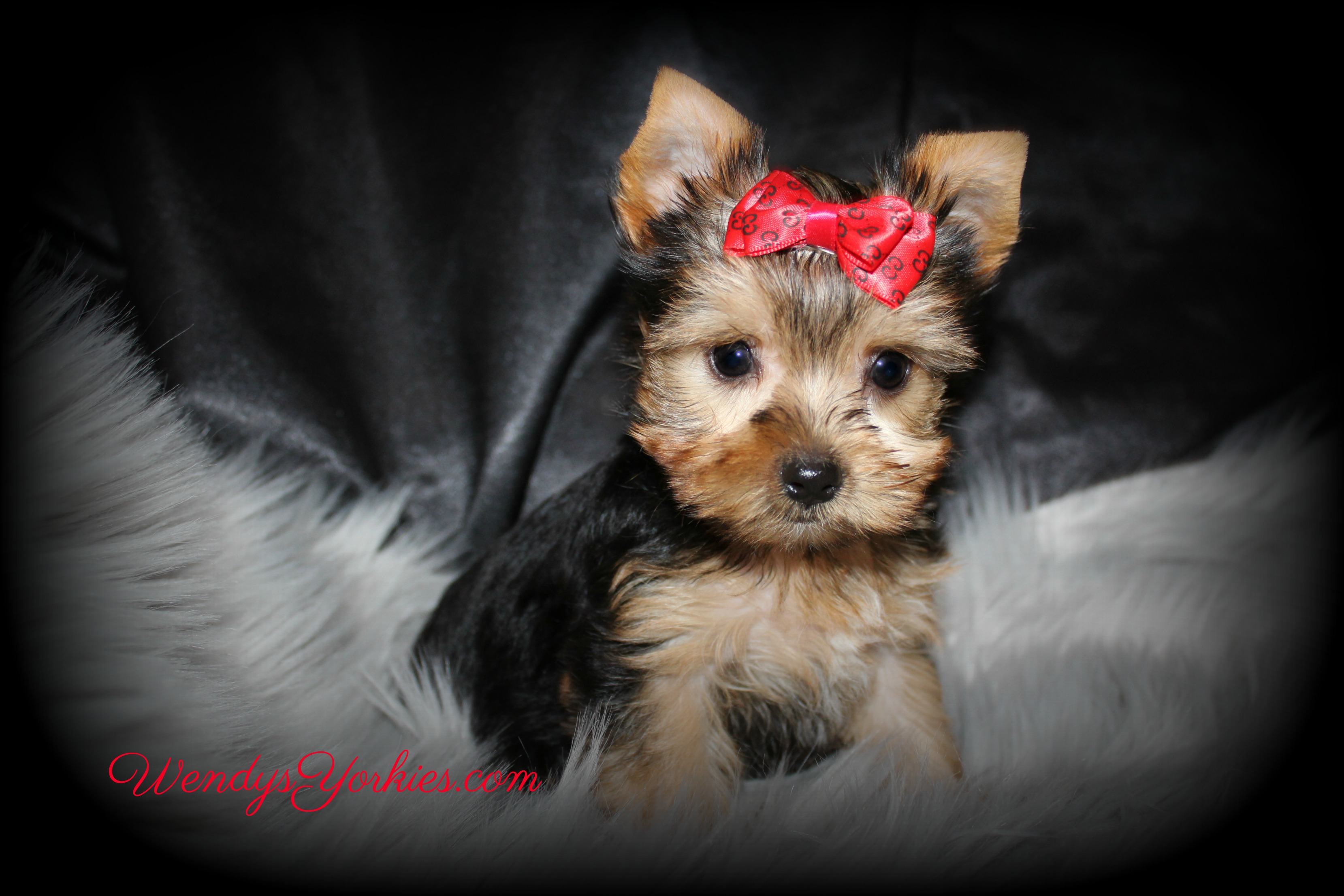 Teacup Male Yorkie puppy for sale in Texas, Cheyenne m1, WendysYorkies.com