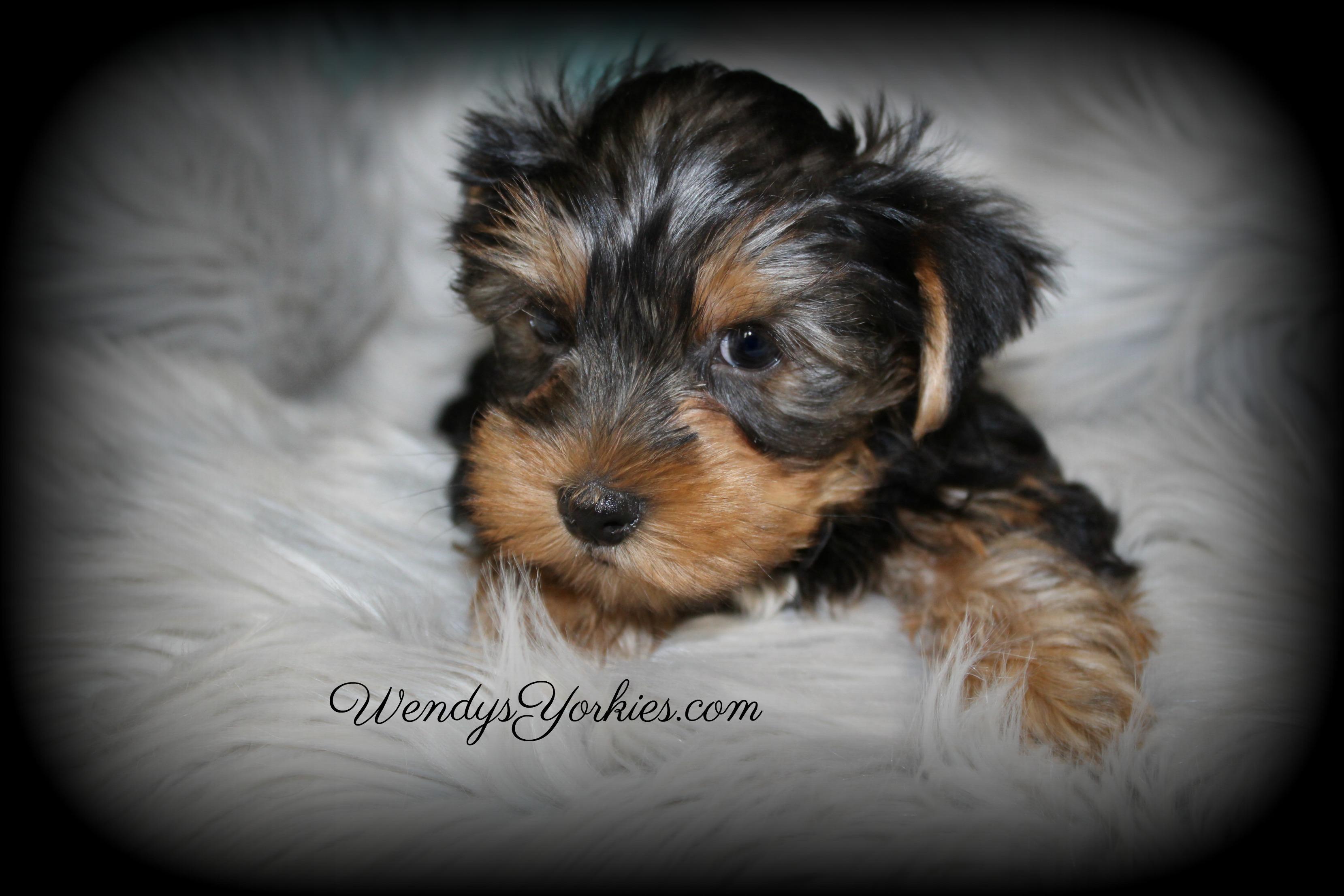Yorkie puppies for sale,WendysYorkies.com