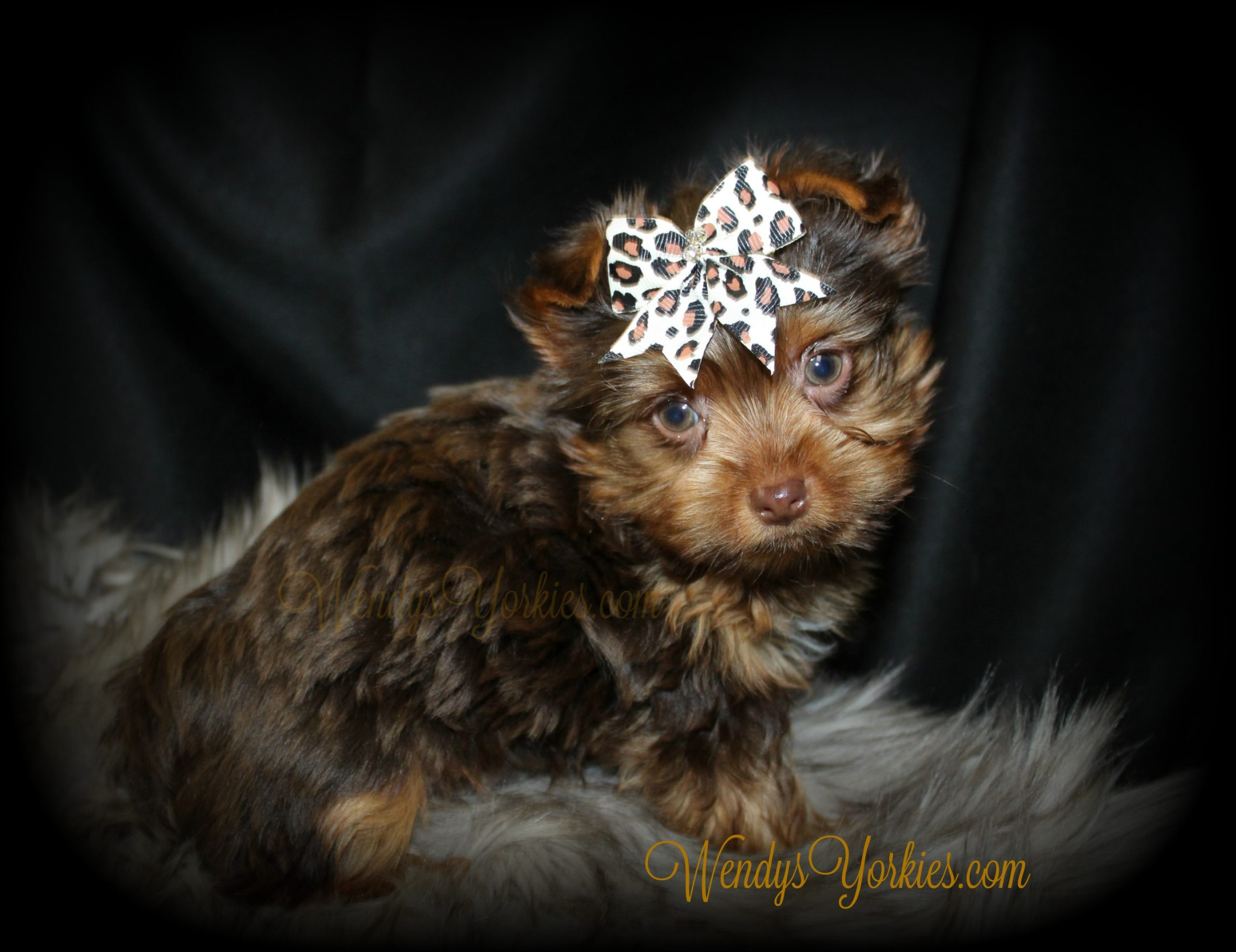 Chocolate Yorkie puppy for sale, Moose, WendysYorkies.com