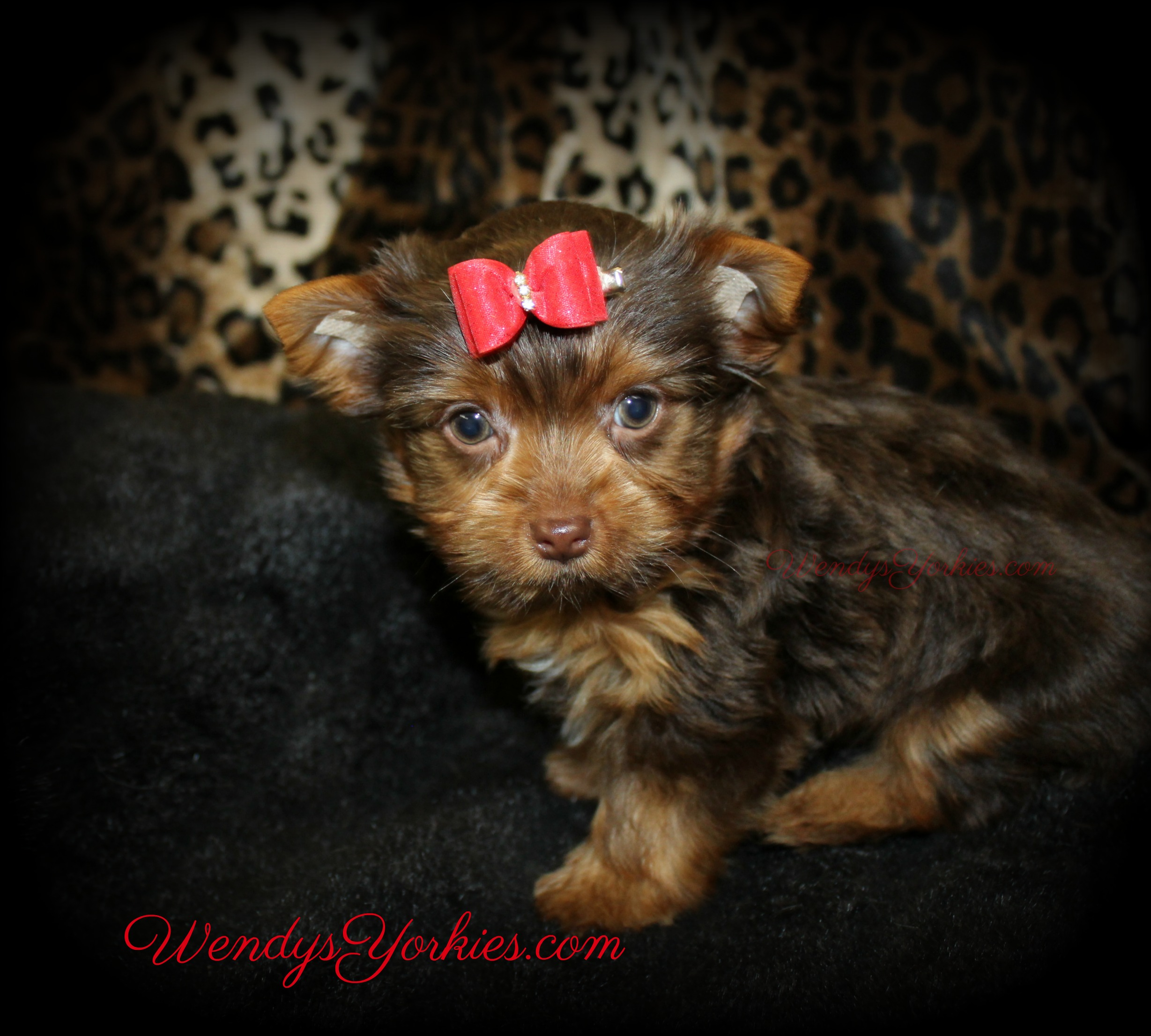 Chocolate Yorkie puppy for sale in Texas, Dixie, WendysYorkies.com
