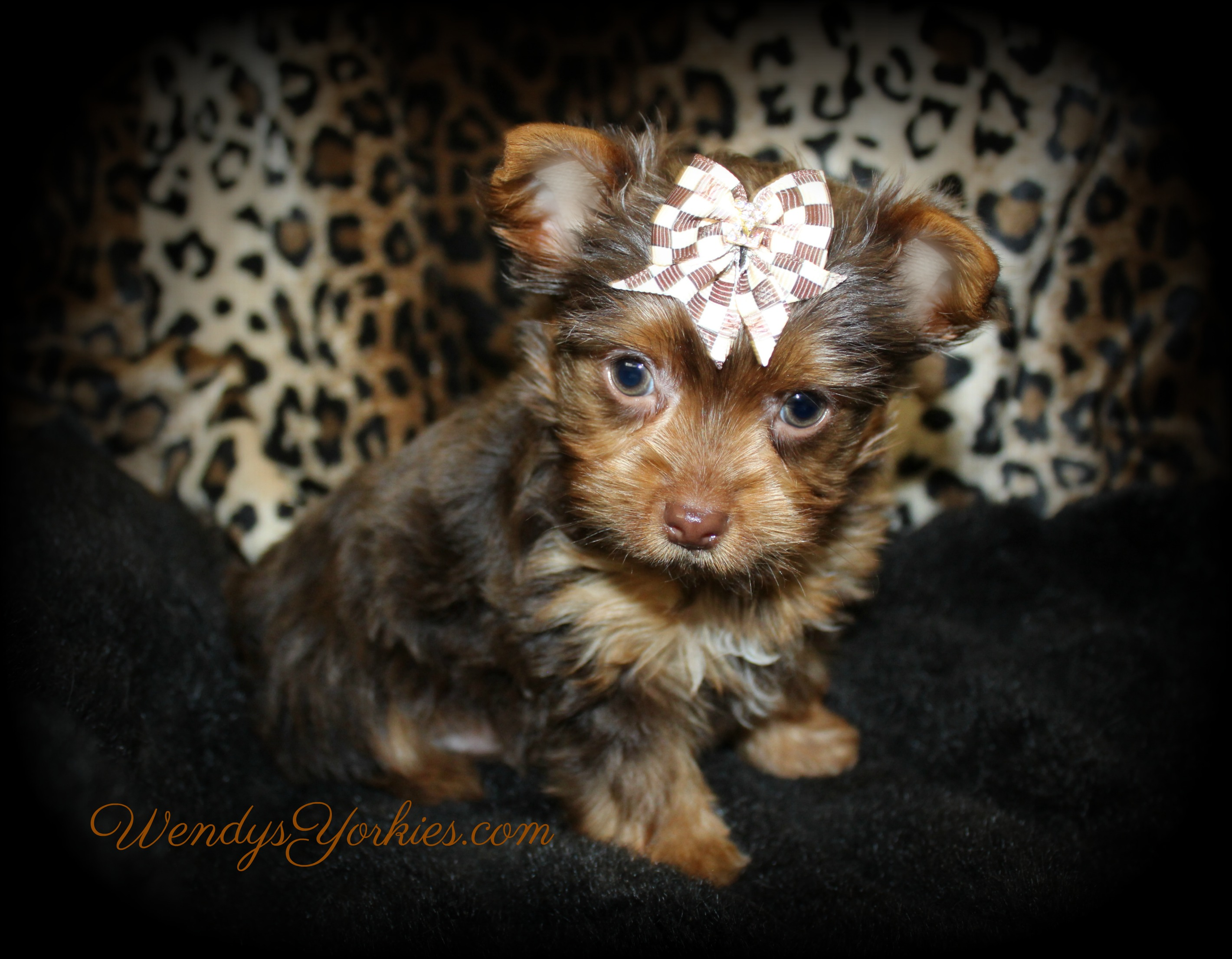 Teacup Chocolate Yorkie puppy for sale in Texas, Dixie Cm1, WendysYorkies.com