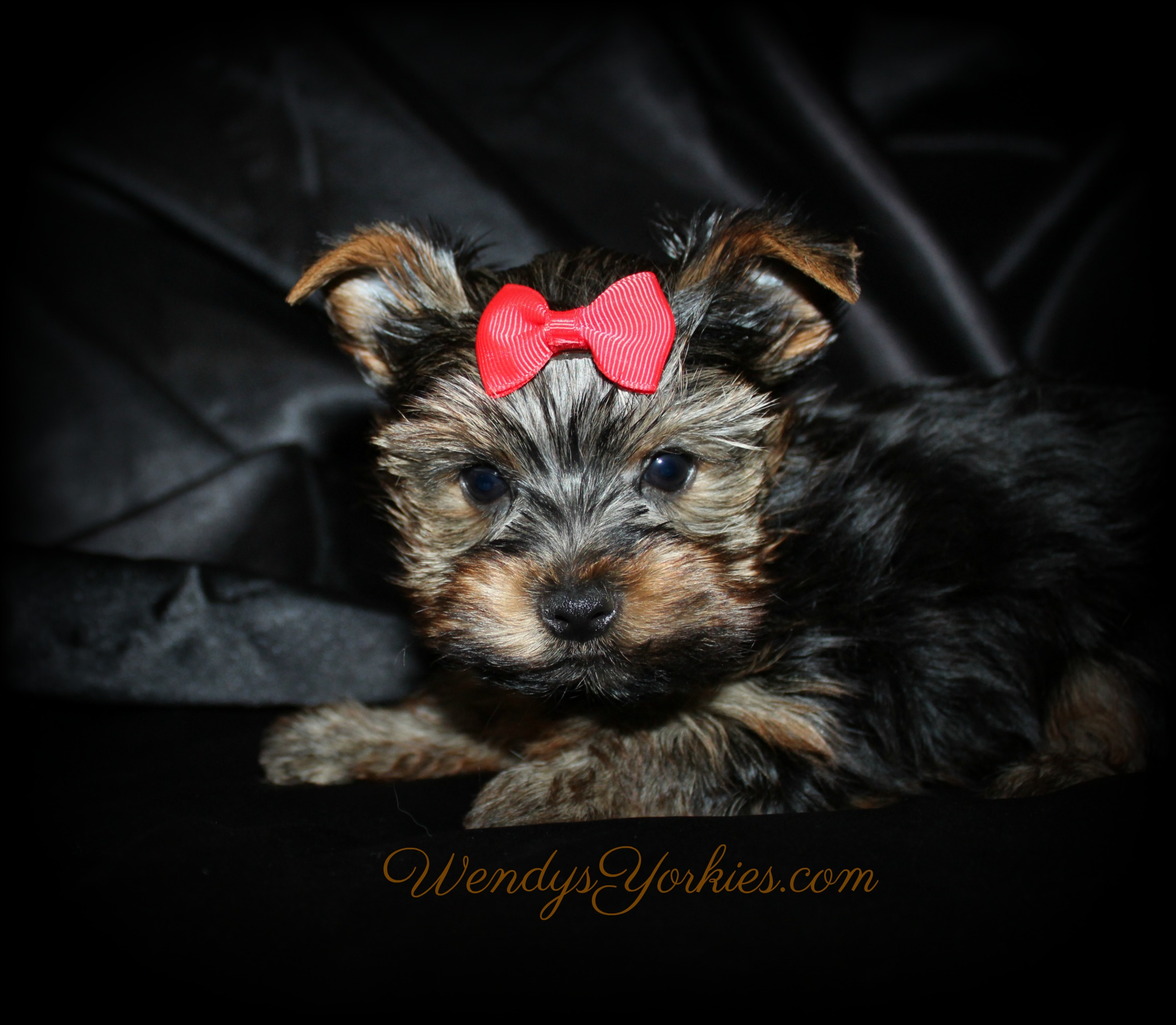 Teacup Male Yorkie puppy for sale, Mini m1, WendysYorkies.com